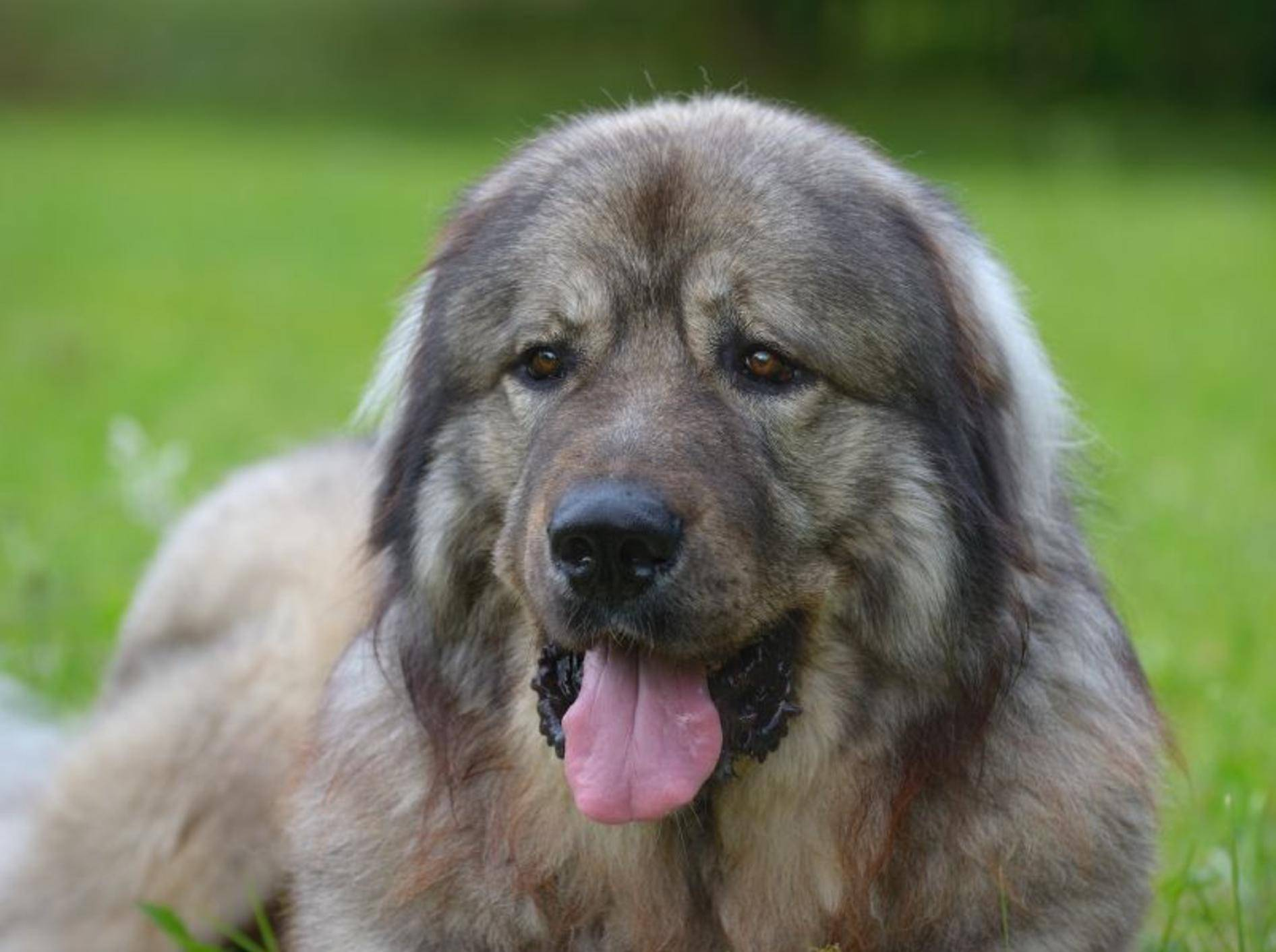Kaukasischer Owtscharka: Kein Hund für Anfänger – Bild: Shutterstock / AnetaPics