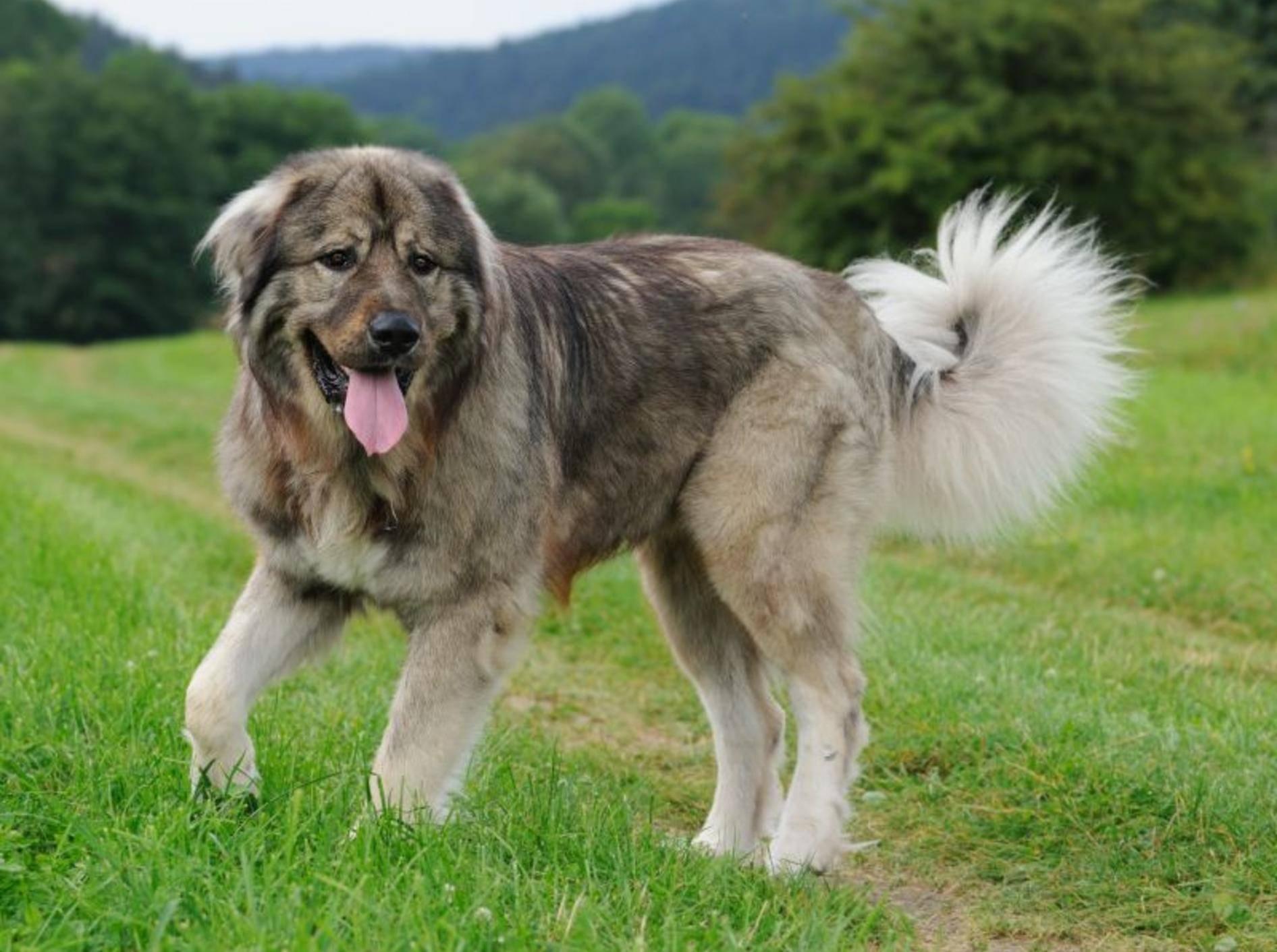 Kaukasischer Owtscharka: Ein Hund, der sein eigenes Revier braucht – Bild: Shutterstock / AnetaPics