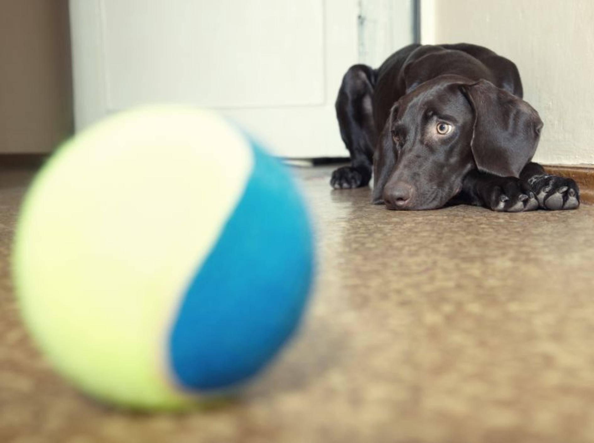 Hunde mit Herzinsuffizienz können verschiedene Symptome zeigen – Bild: Shutterstock / Arman Zhenikeyev