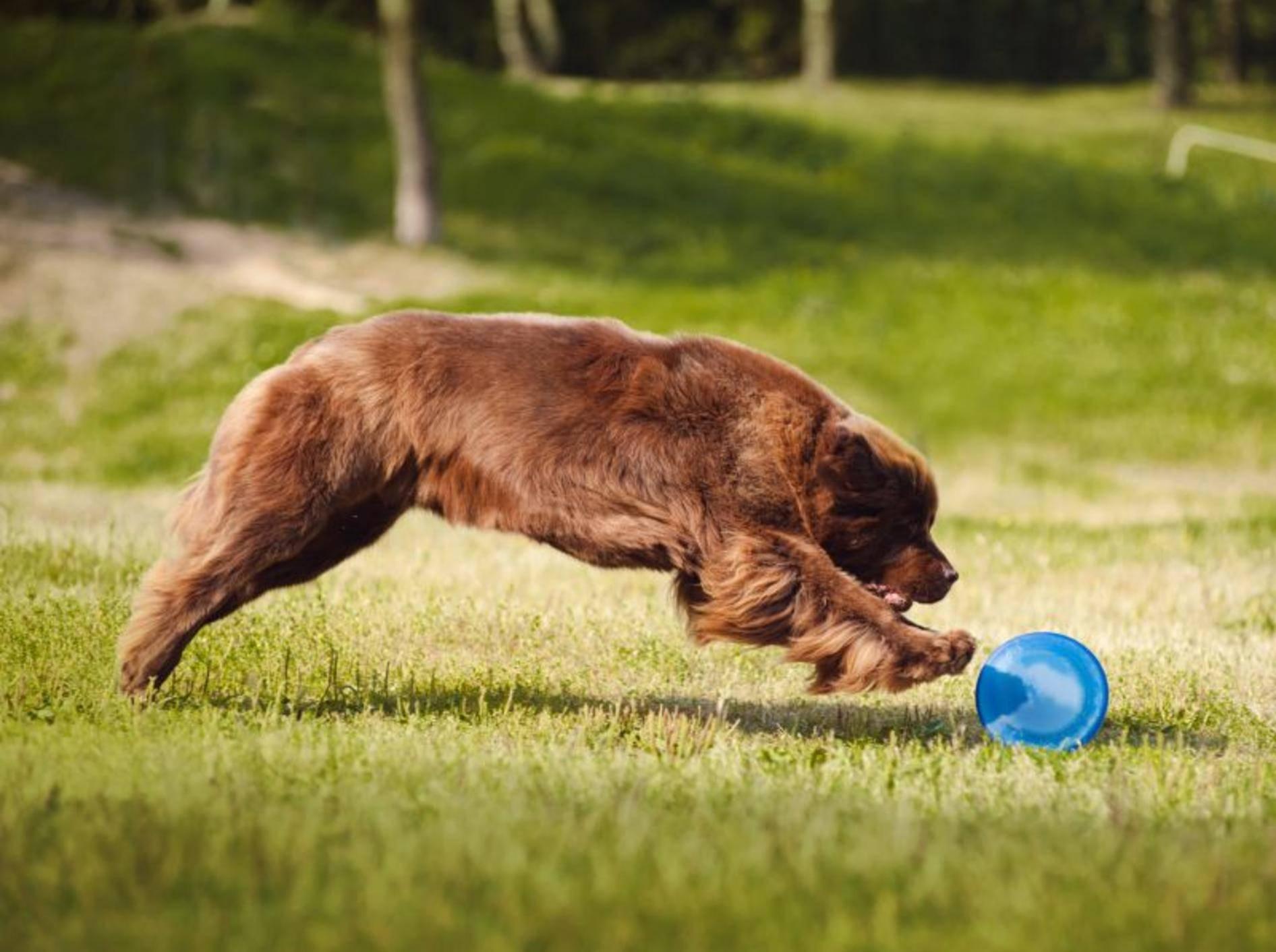 Spielen macht Spaß! Normalerweise ist der Neufundländer aber eher ruhig – Bild: Shutterstock / Ksenia Raykova