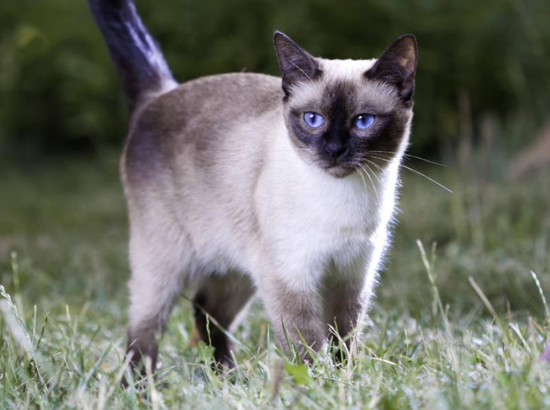 Wie man sieht: Die Thaikatze ist mit der Siamkatze verwandt – Bild: Shutterstock / Sergey Lavrentev
