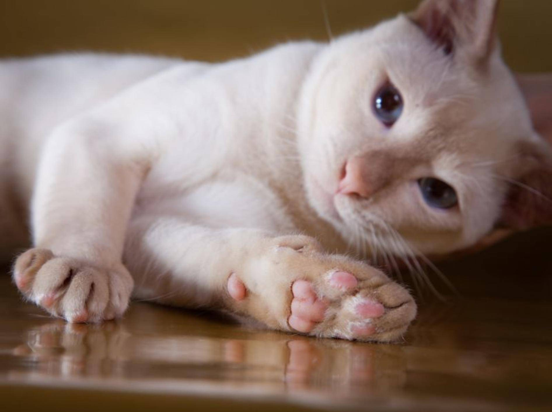 Die Tonkanese ist eine schöne, verspielte Katze – Bild: Shutterstock / dezi