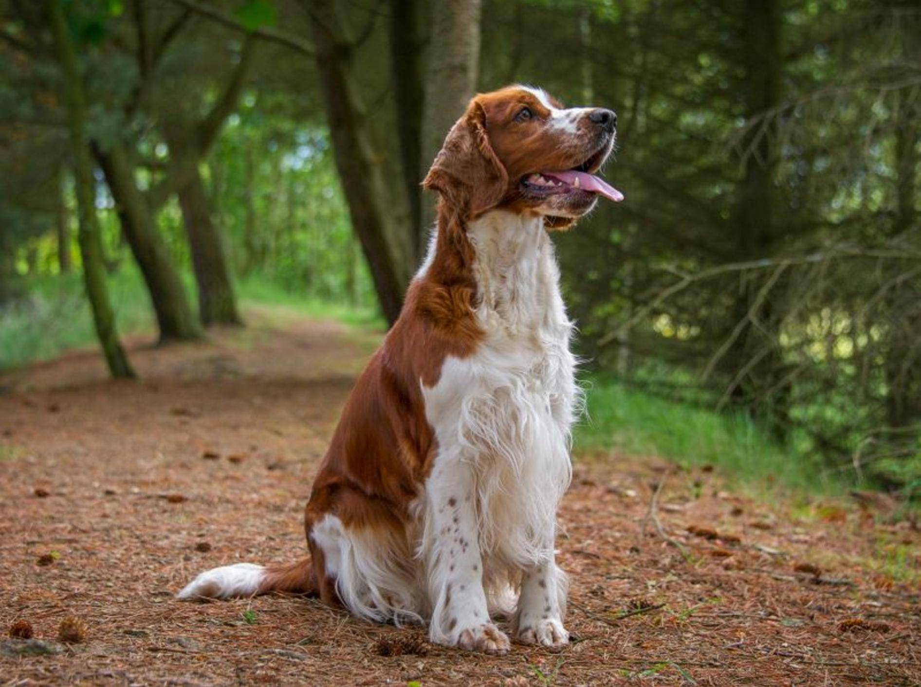 Der Welsh Springer Spaniel ist ein kluger, aufmerksamer Hund – Bild: Shutterstock / rebeccaashworth