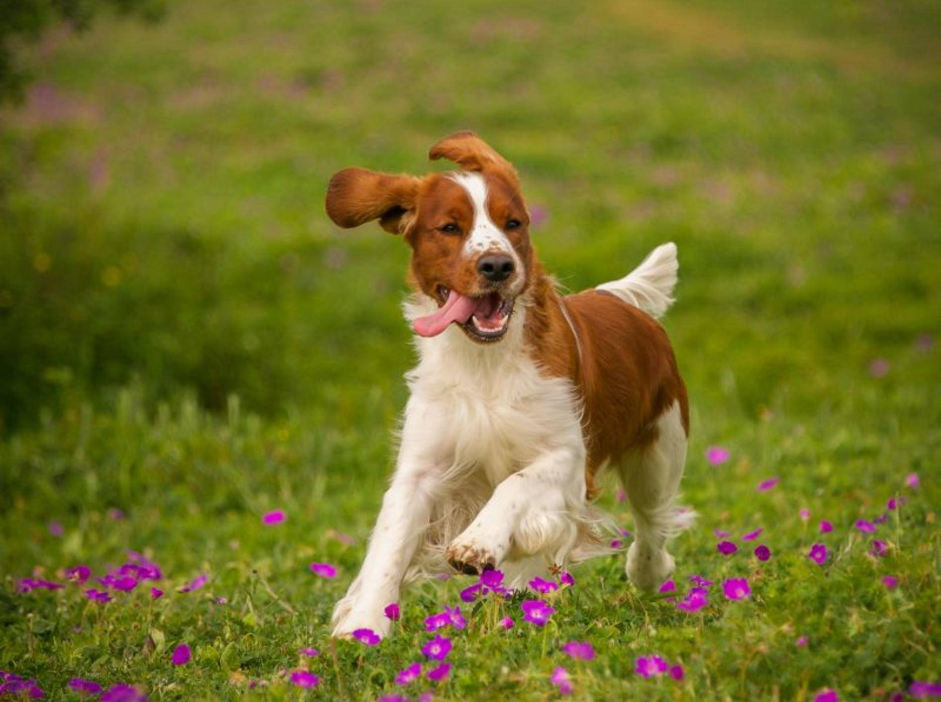 Aktiv, munter und bewegungsfreudig: Der Welsh Springer Spaniel – Bild: Shutterstock / rebeccaashworth