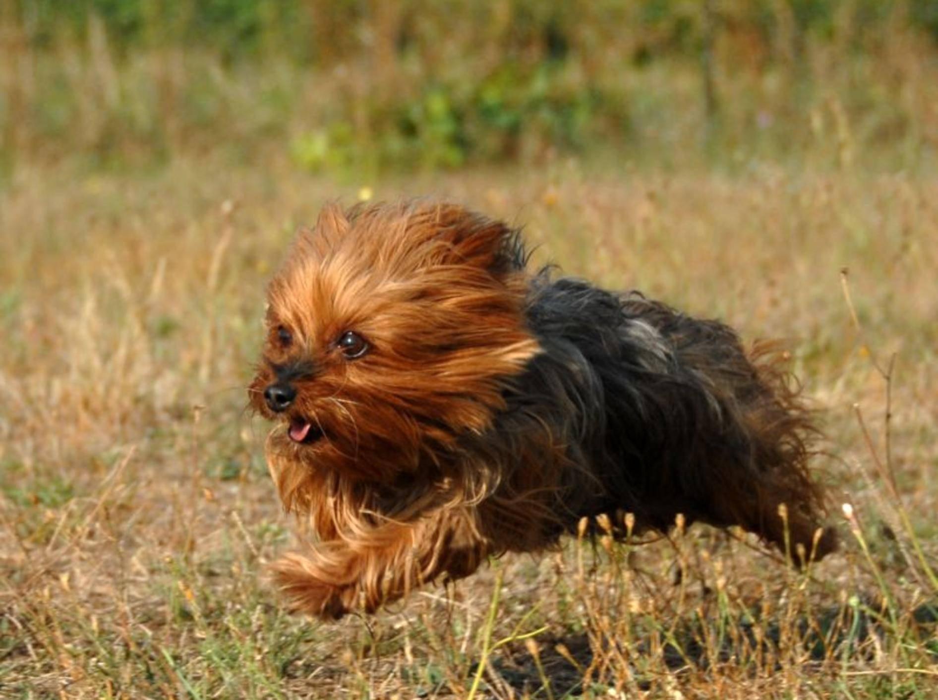 Der Yorkshire Terrier braucht eine gute, sorgfältige Erziehung – Bild: Shutterstock / cynoclub