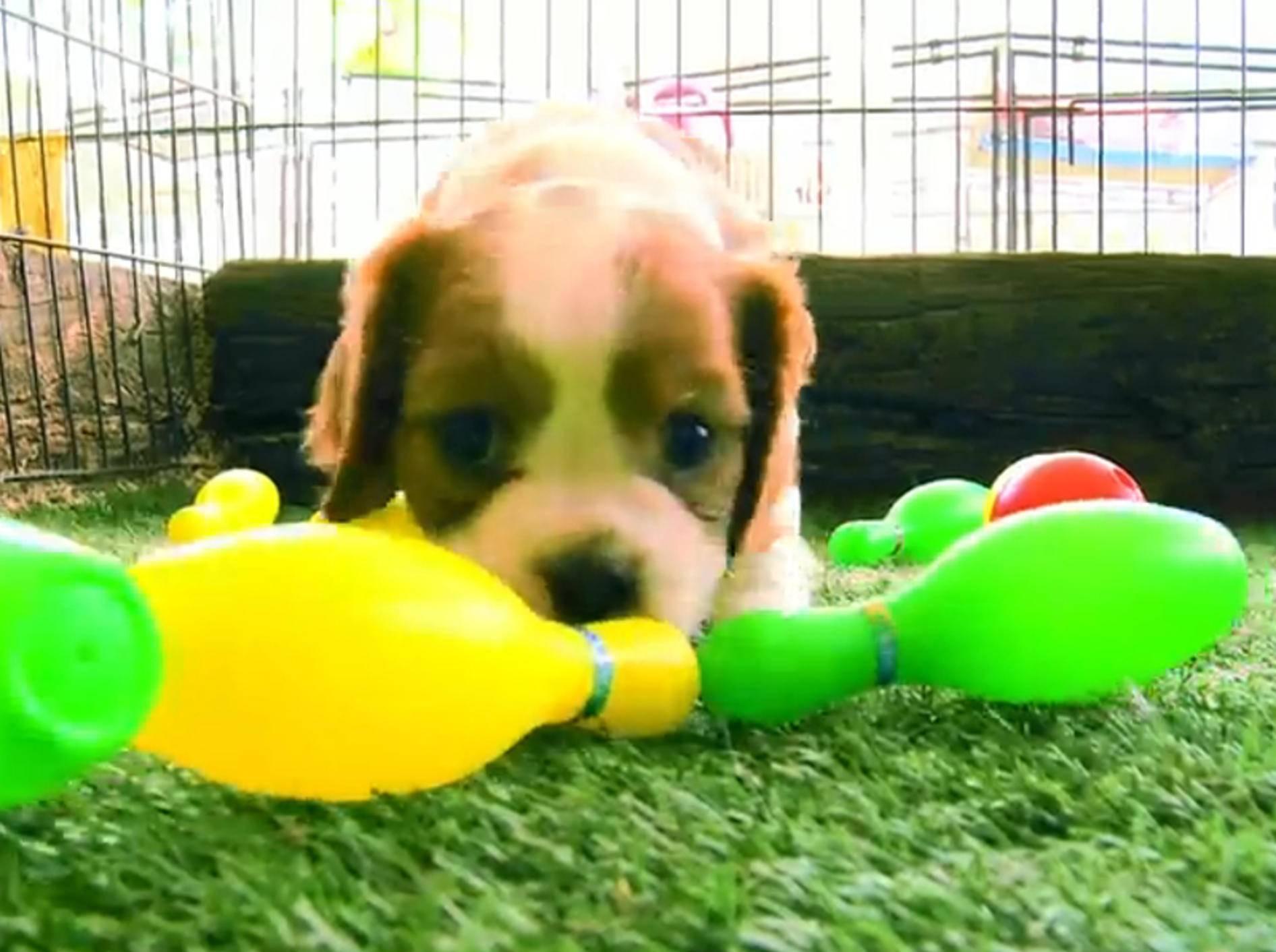 Hundewelpen spielen mit Plastikkegeln – Bild: YouTube / The Pet Collective
