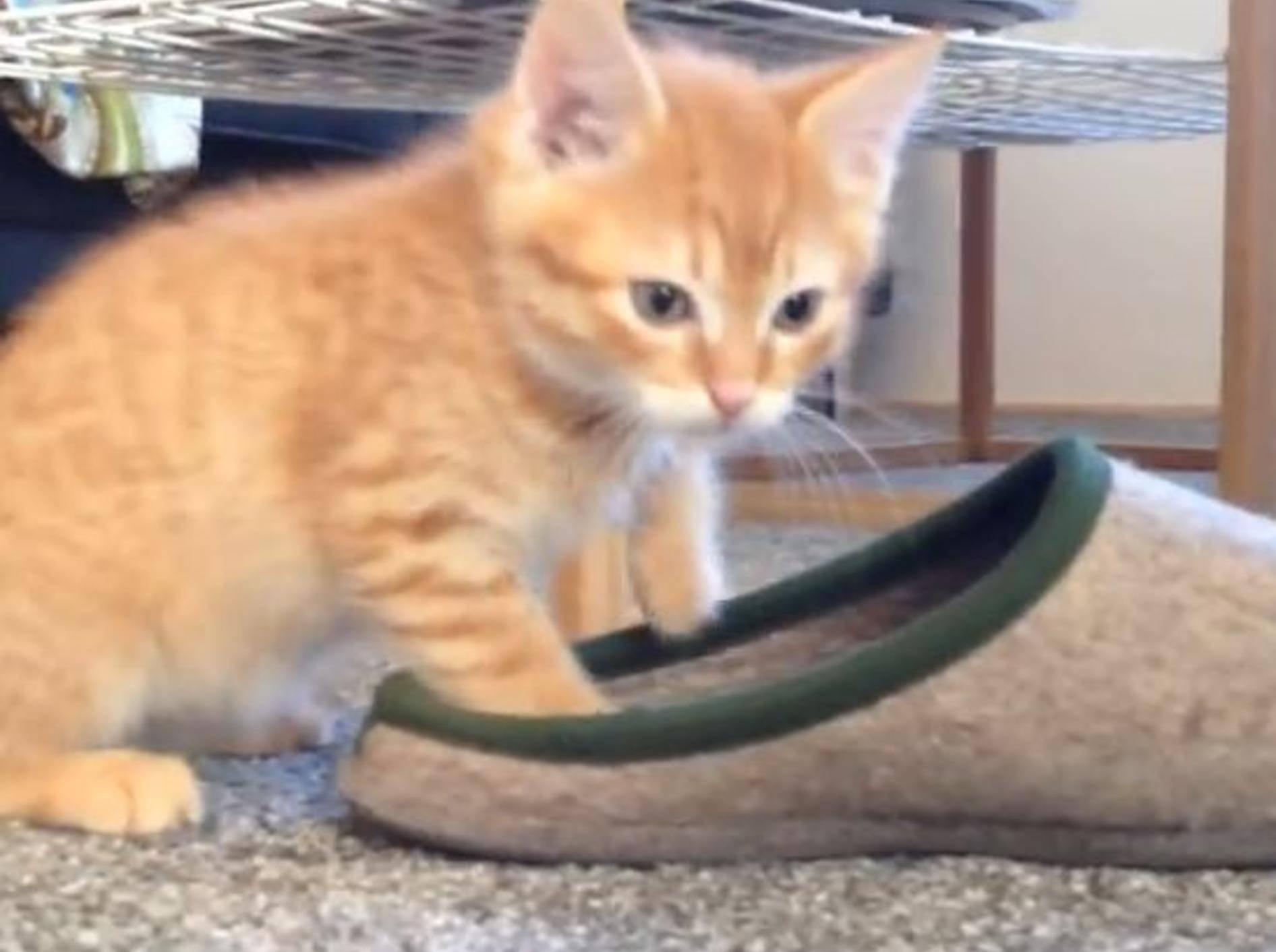 Katze mit neuem Spielzeug: Kampf mit einem Hausschuh – Bild: YouTube / Burli