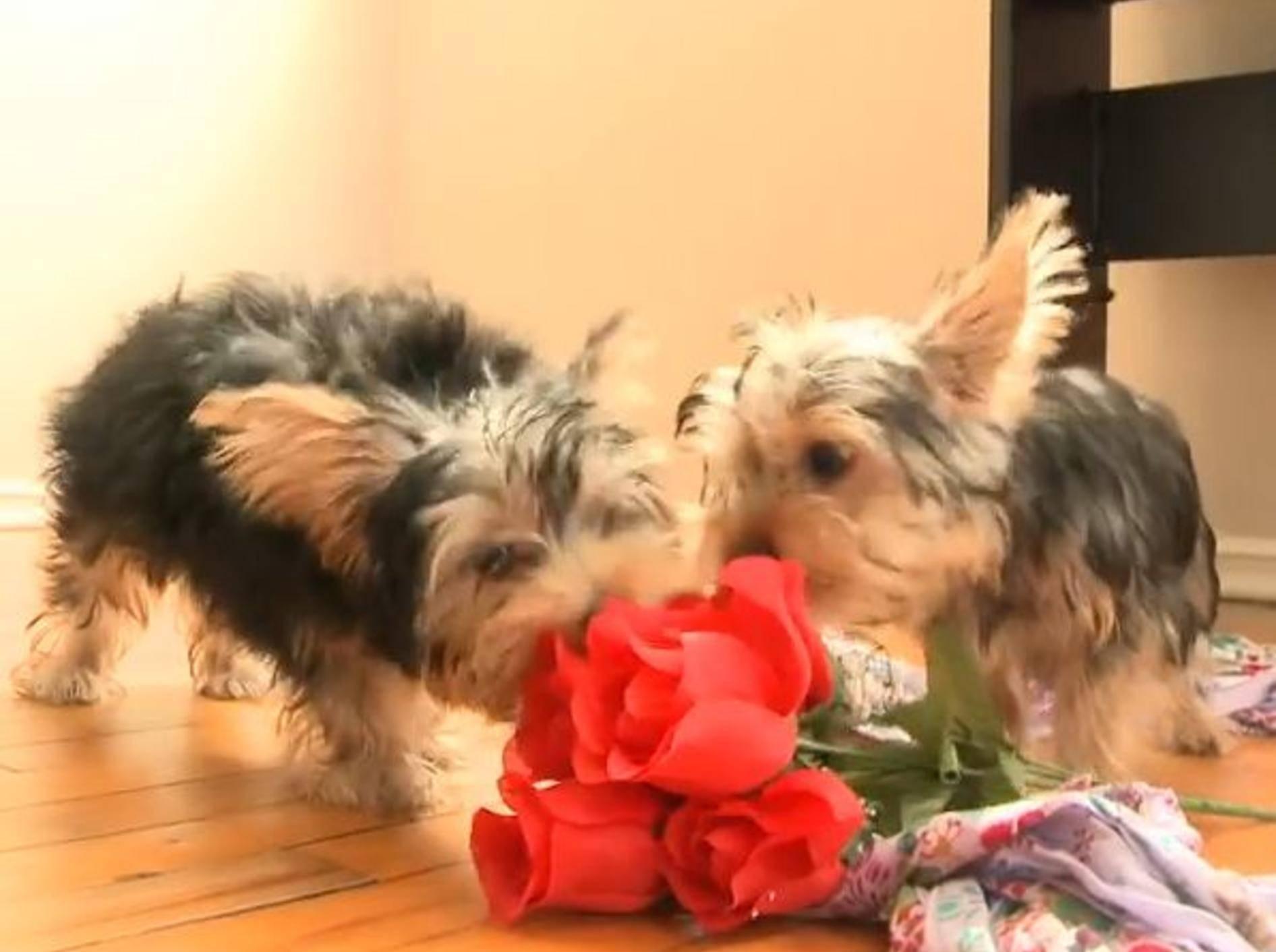 Yorkshire Terrier-Welpen spielen mit Rosen – Bild: YouTube / The Pet Collective