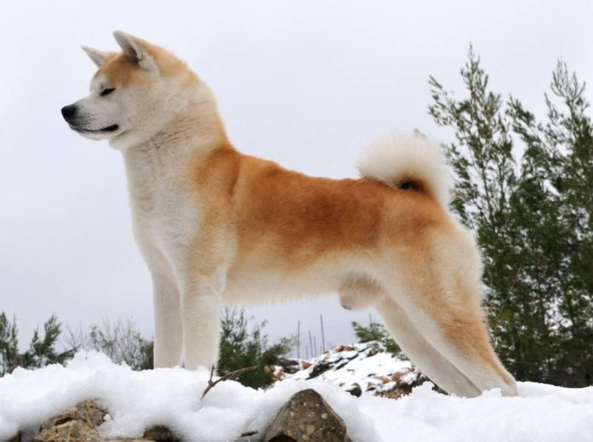 japanischer hund shiba