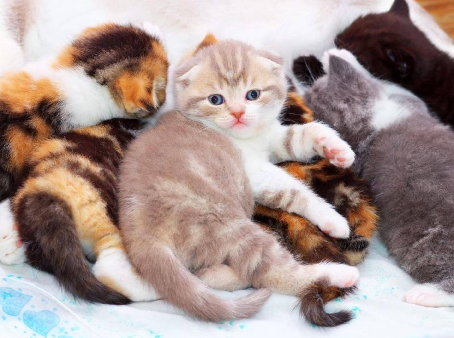 """Kunterbunte Scottish-Fold-Katzenbabybande: """"He, bitte keine Fotos!"""" – Bild: Shutterstock / ESOlex"""