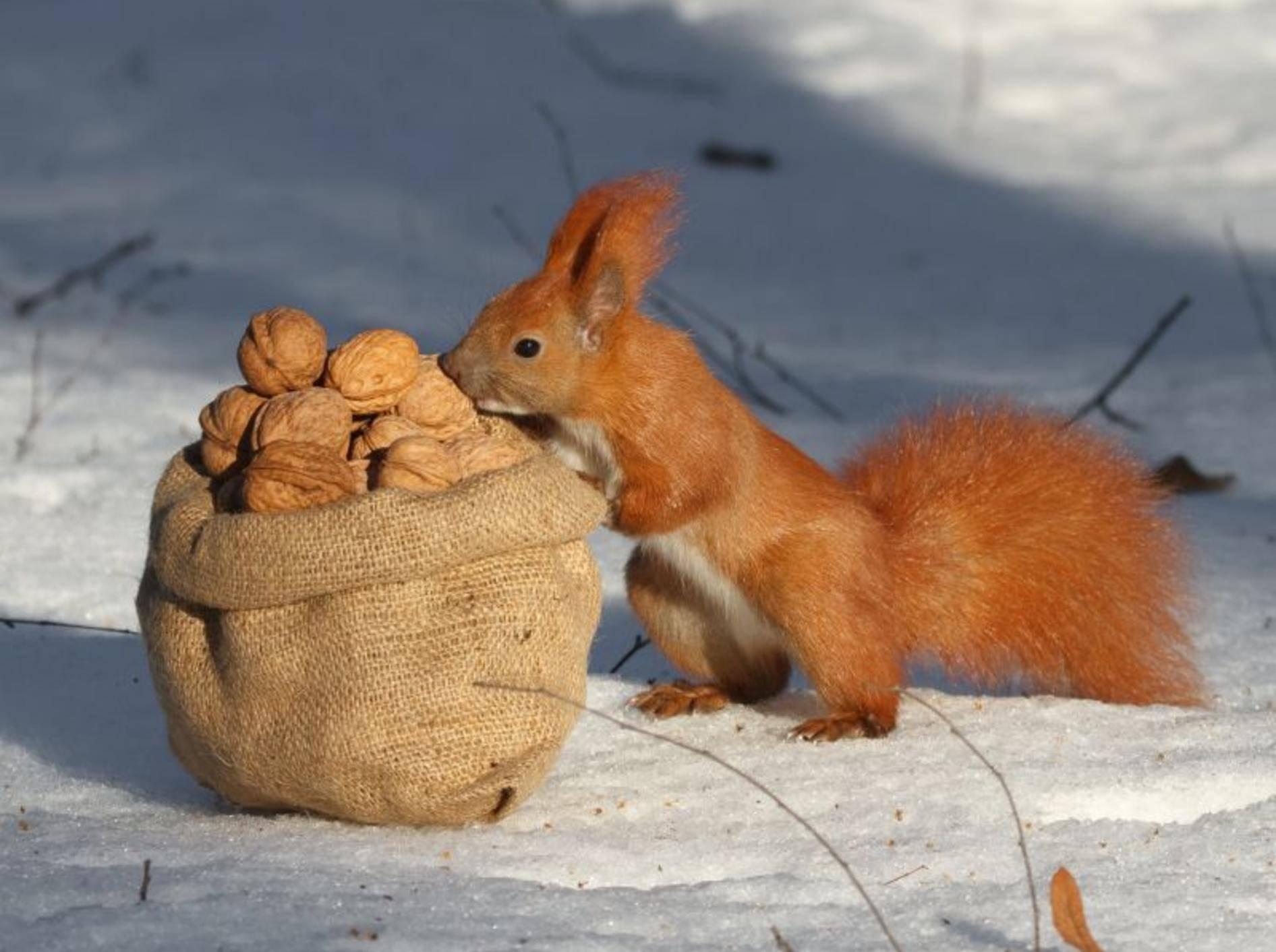 """Eichhörnchen im Winter: """"Diese Nüsse hatte ich aber nicht selber versteckt ..."""" – Bild: Shutterstock / FomaA"""