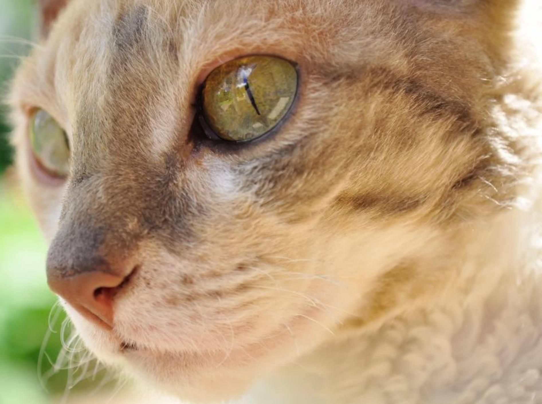 Freundliche German-Rex-Katze: Ihre Haltung ist nicht kompliziert – Bild: Shutterstock / Imageman