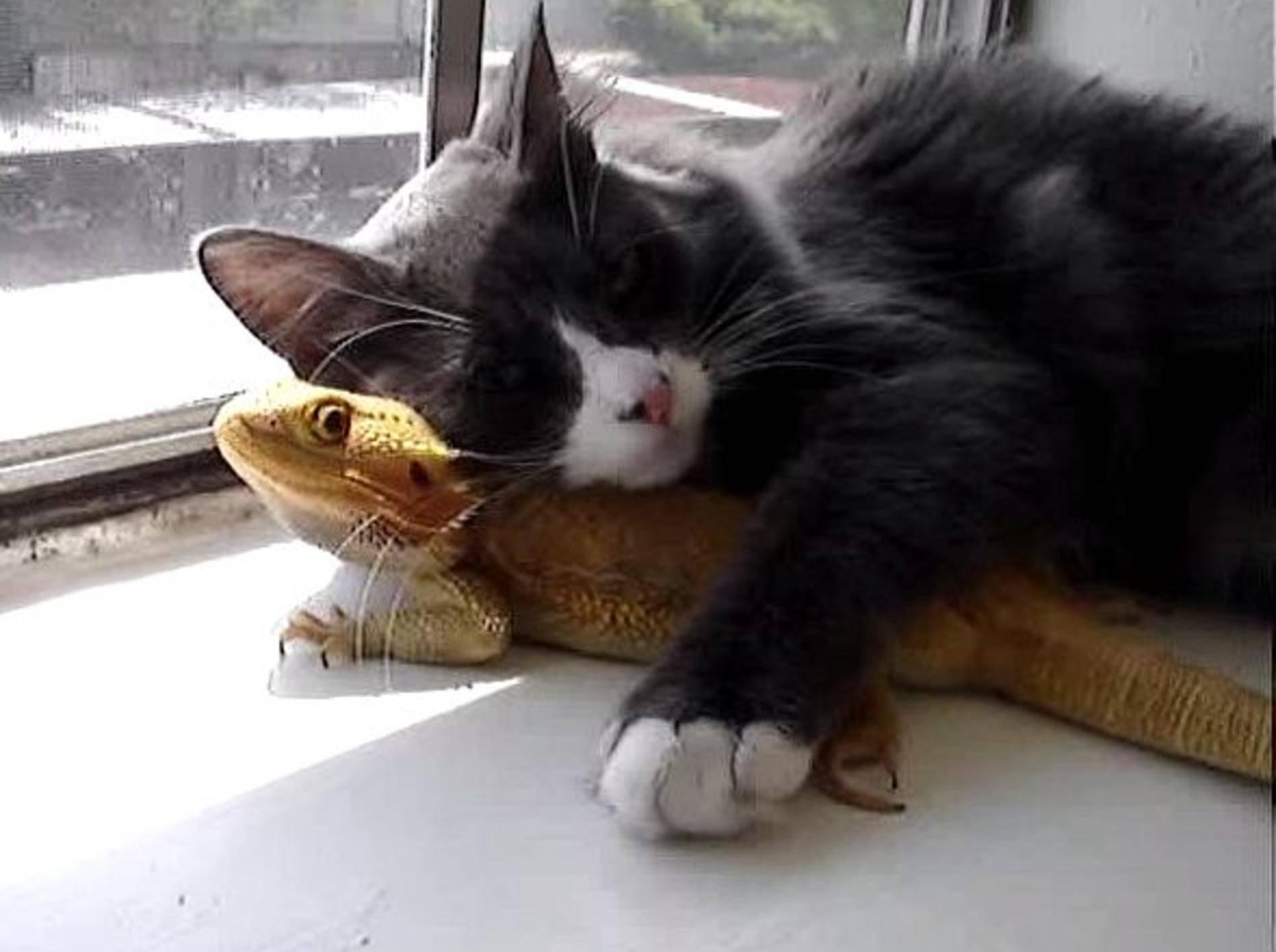 Katze und Echse: Ein ungewöhnliches Duo – Bild: Youtube / picklified