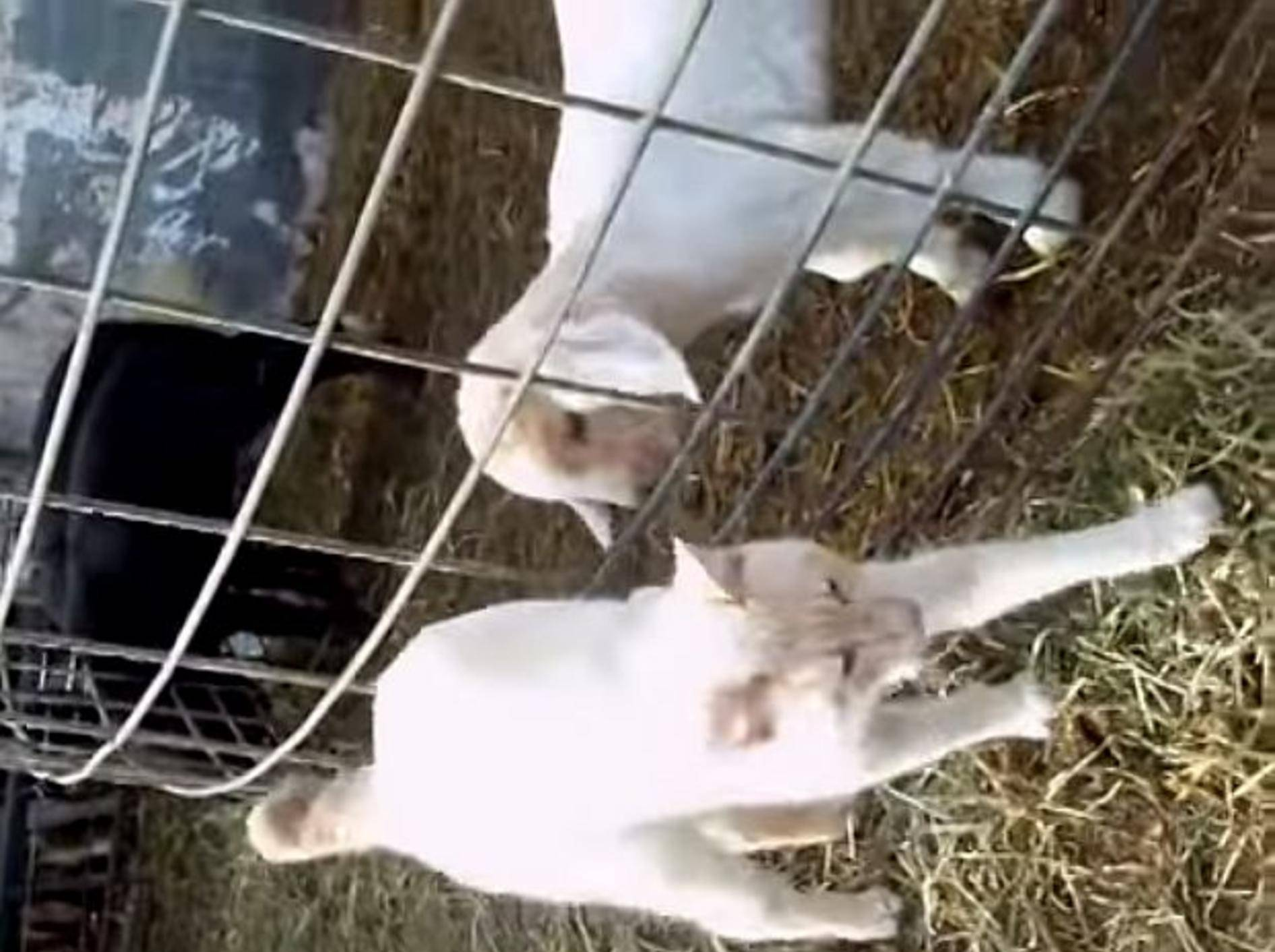 Verschmuste Katze möchte mit Zicklein spielen – Bild: Youtube / pollywog1144