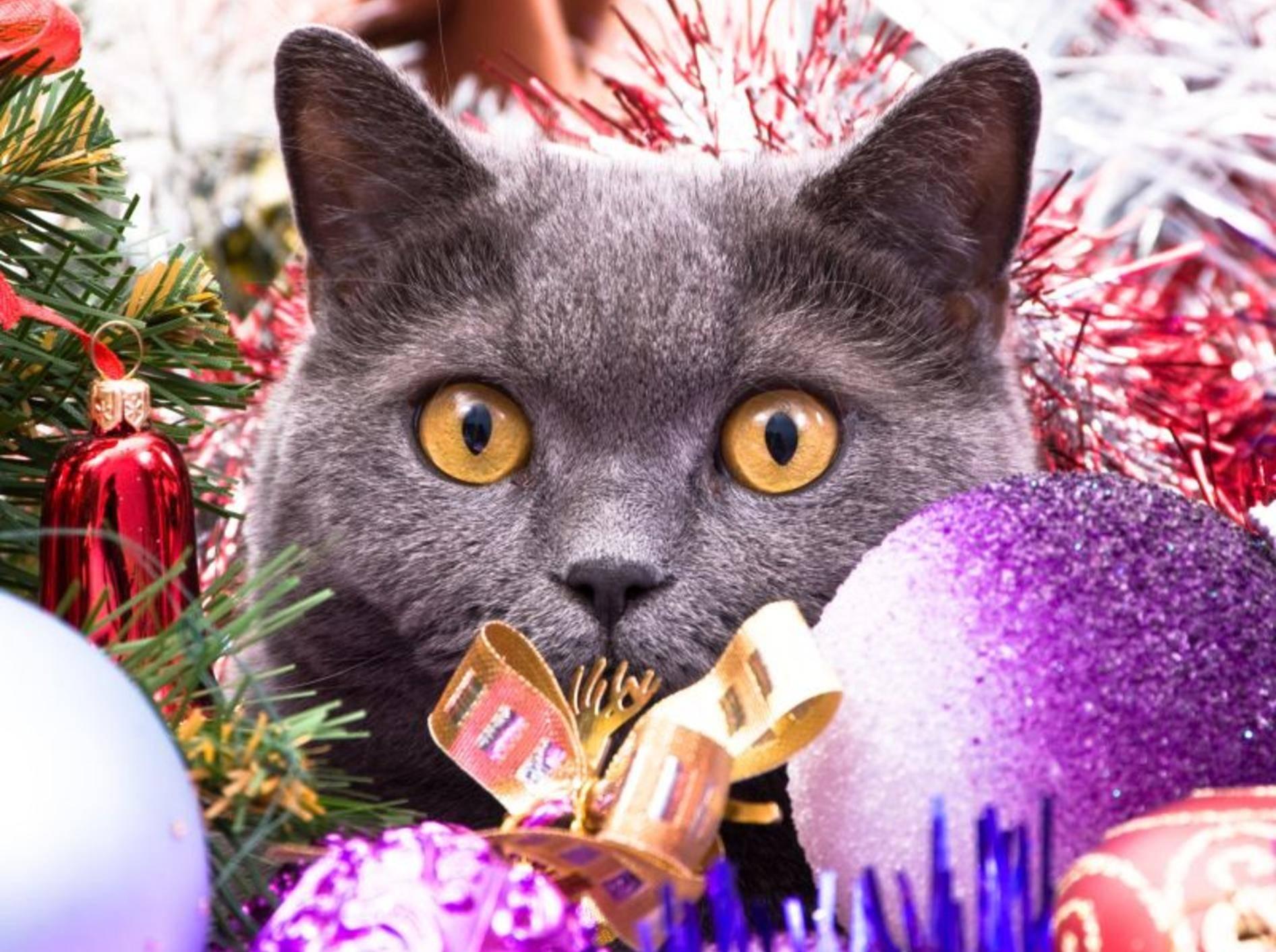 Behalten Sie Ihre Katze in der Weihnachtszeit gut im Blick – Bild: Shutterstock / Dmitry Bruskov
