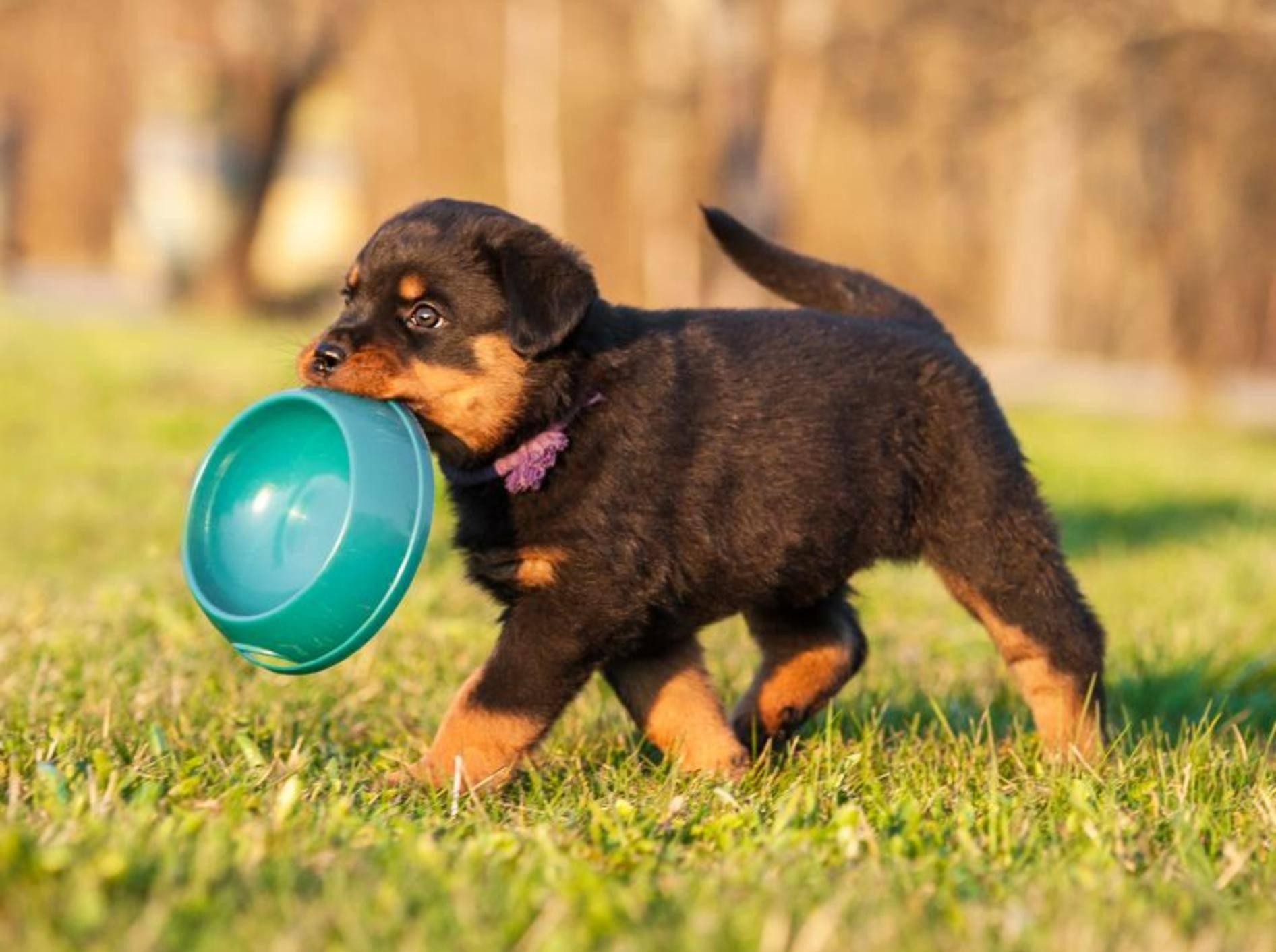 Tricks und Grundkommandos: Ein kleiner Rottweiler muss einiges lernen – Bild: Shutterstock / Rita Kochmarjova