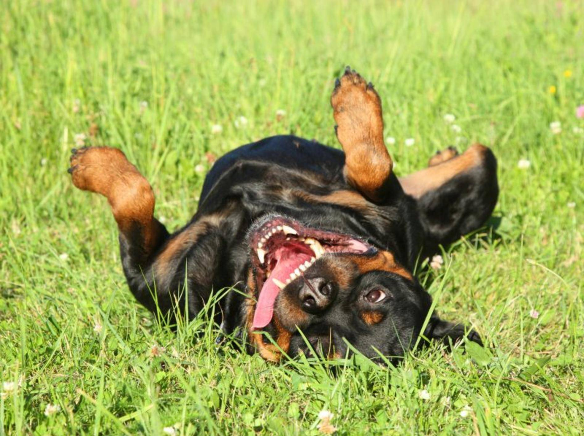 Der Rottweiler braucht Platz und Zeit zum Toben im Freien – Bild: Shutterstock / Jagodka