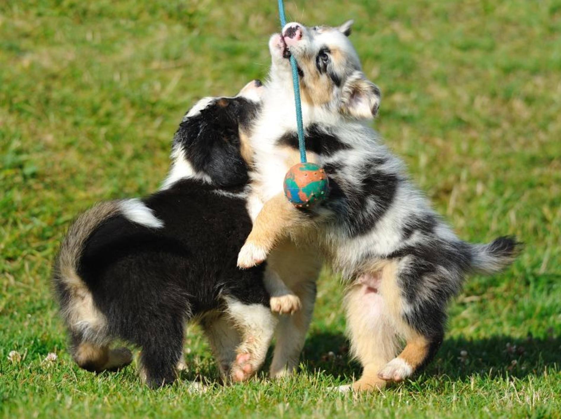 """""""Wir liiiieben Spielen!!!"""", ist diesen Australian-Shepherd-Welpen förmlich anzusehen – Bild: Shutterstock / CoolR"""