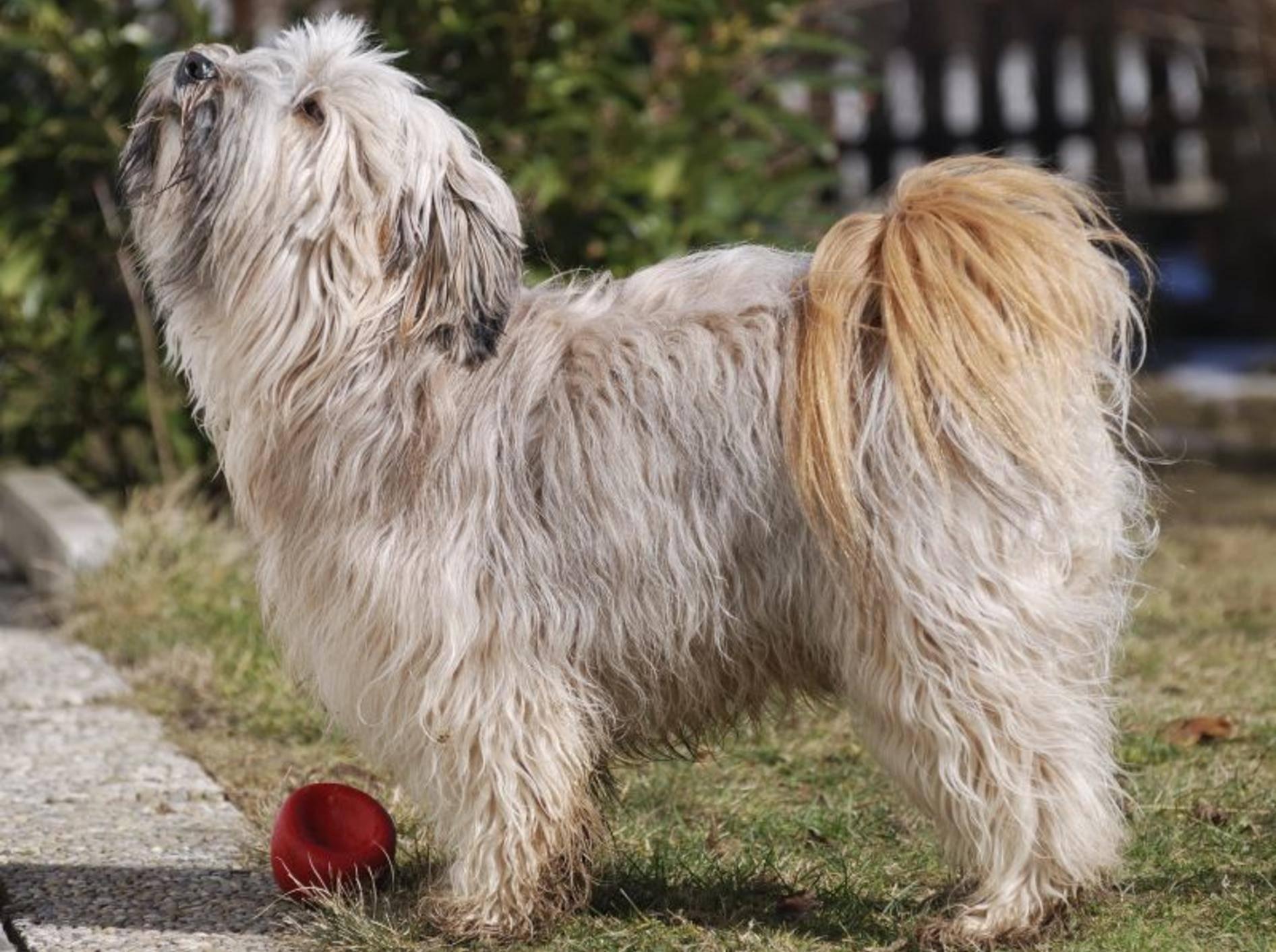 Der Tibet Terrier ist ein fröhlicher und sportlicher Hund – Bild: Shutterstock / manfredxy