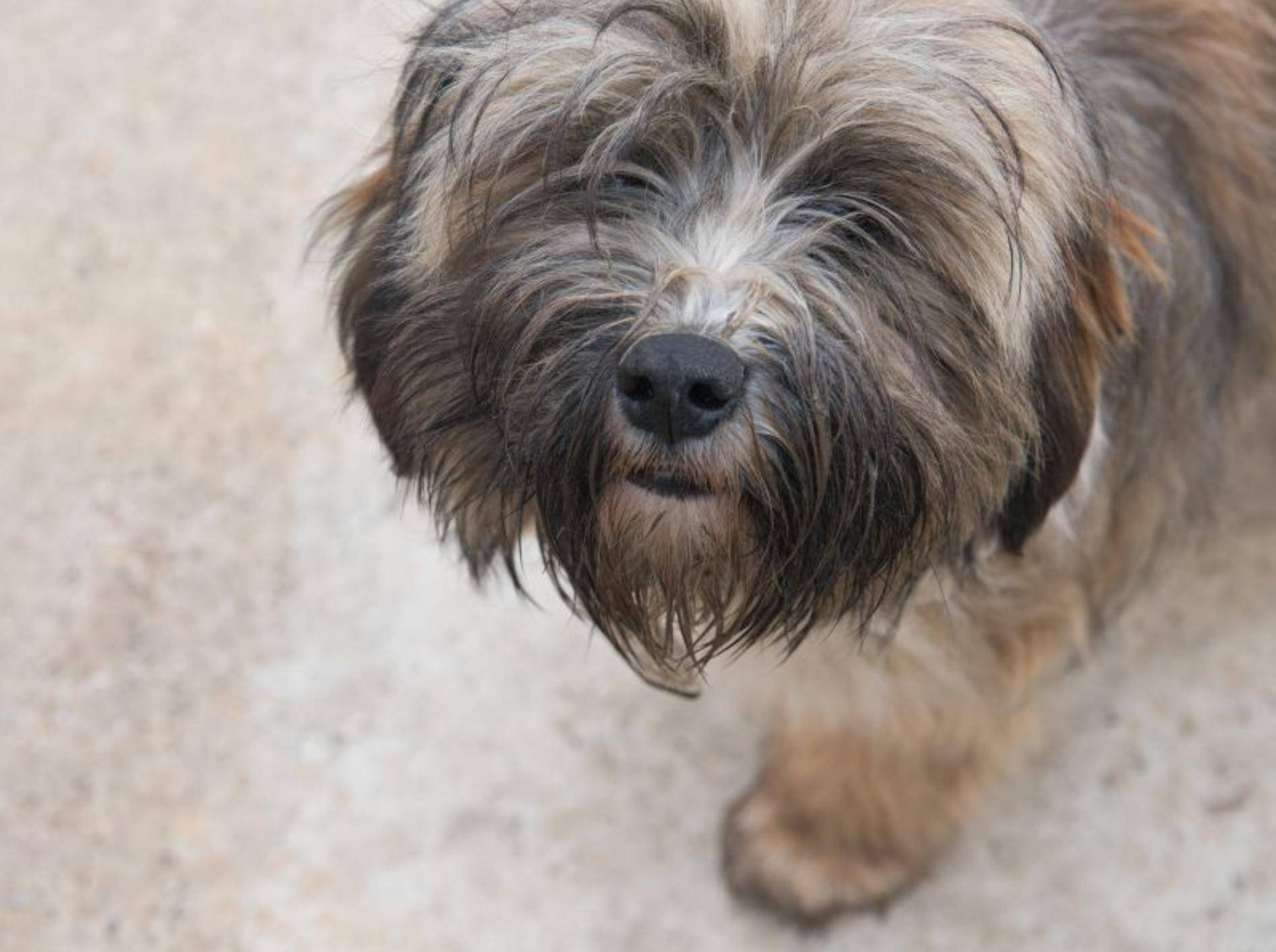 Tibet-Terrier