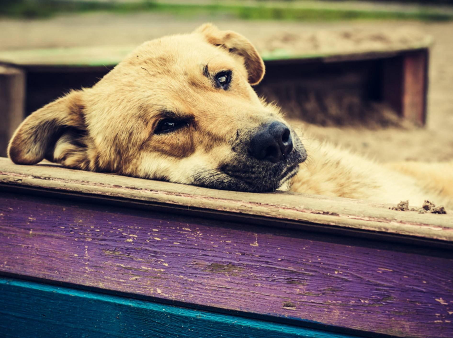 Im Alter braucht der Hund viel Ruhe und regelmäßige Untersuchungen – Bild: Shutterstock / Khamidulin Sergey