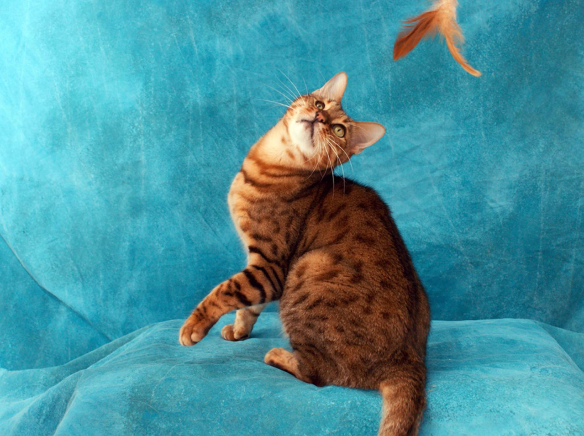 Spiel und Spaß sind für die Erziehung von Bengalkatzen wichtig – Bild: Shutterstock / Stephen Orsillo