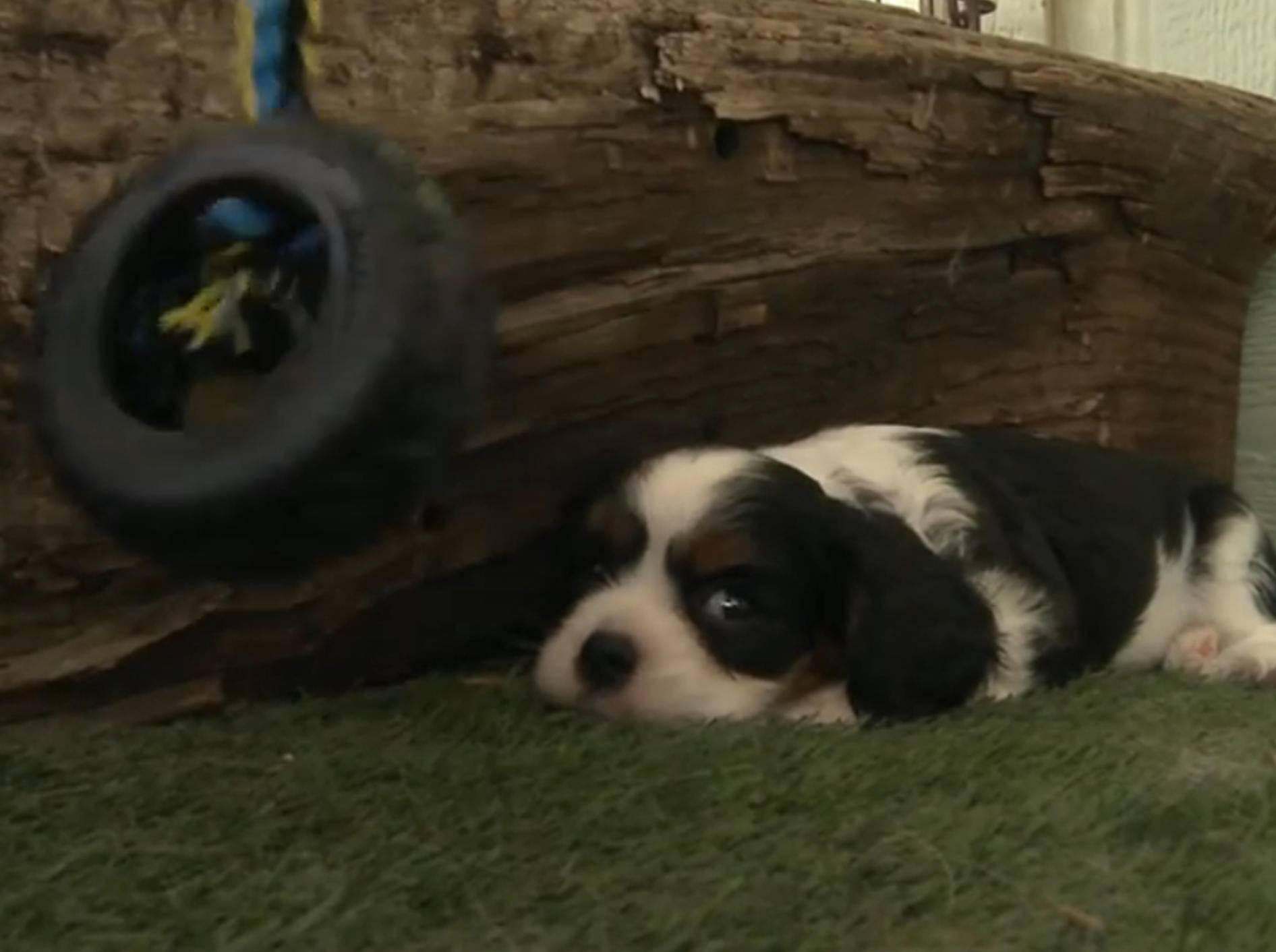 """Süßer Welpe: """"Ich mag Spielzeug nicht!"""" – Bild: YouTube / The Pet Collective"""