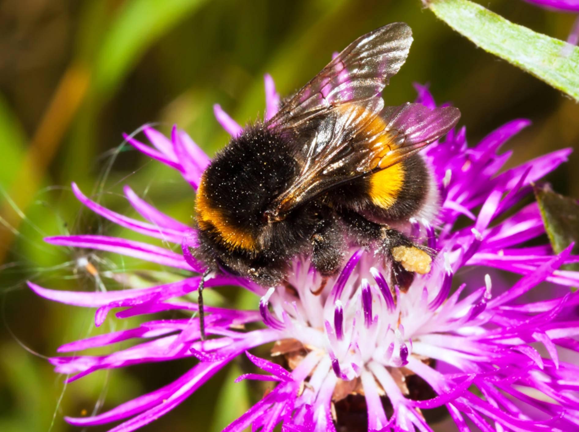 Hummeln gehören zur Familie der Echten Bienen – Bild: Shutterstock / Sailorr