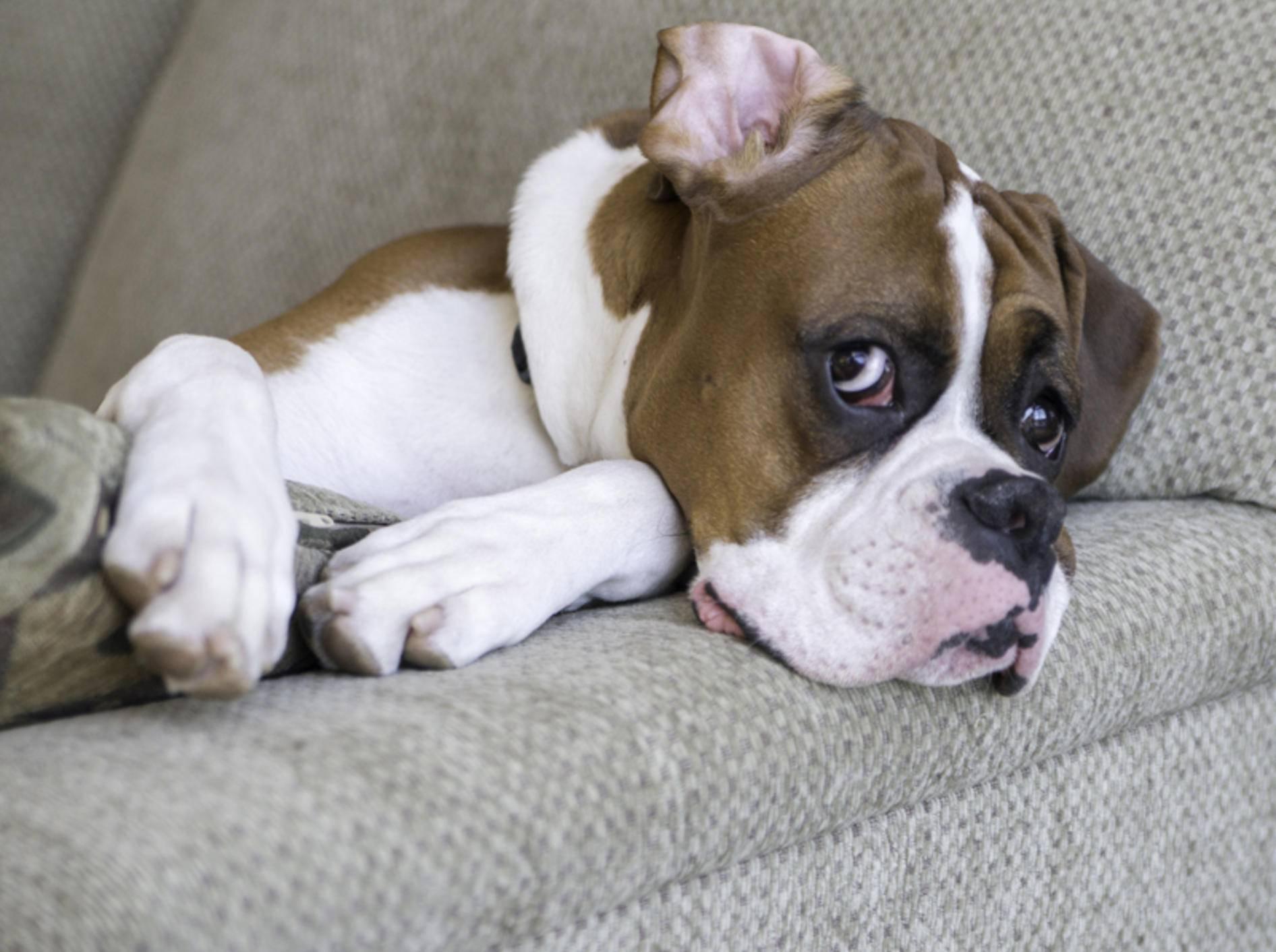 Hund liegt auf dem Sofa: Rangordnungsprobleme oder schlechte Erziehung? – Bild: Shutterstock / Tony Moran