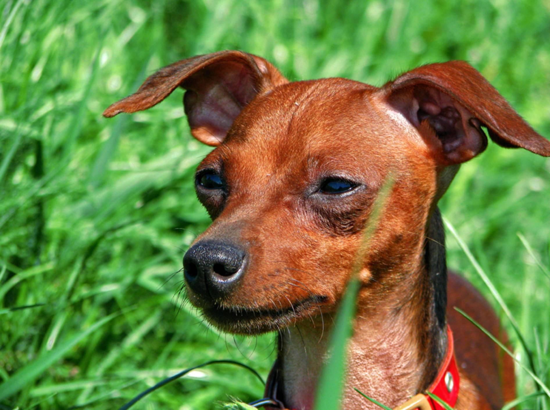 Gewichtsverlust beim Hund ist oft ein Warnsignal – Bild: Shutterstock / Bandika