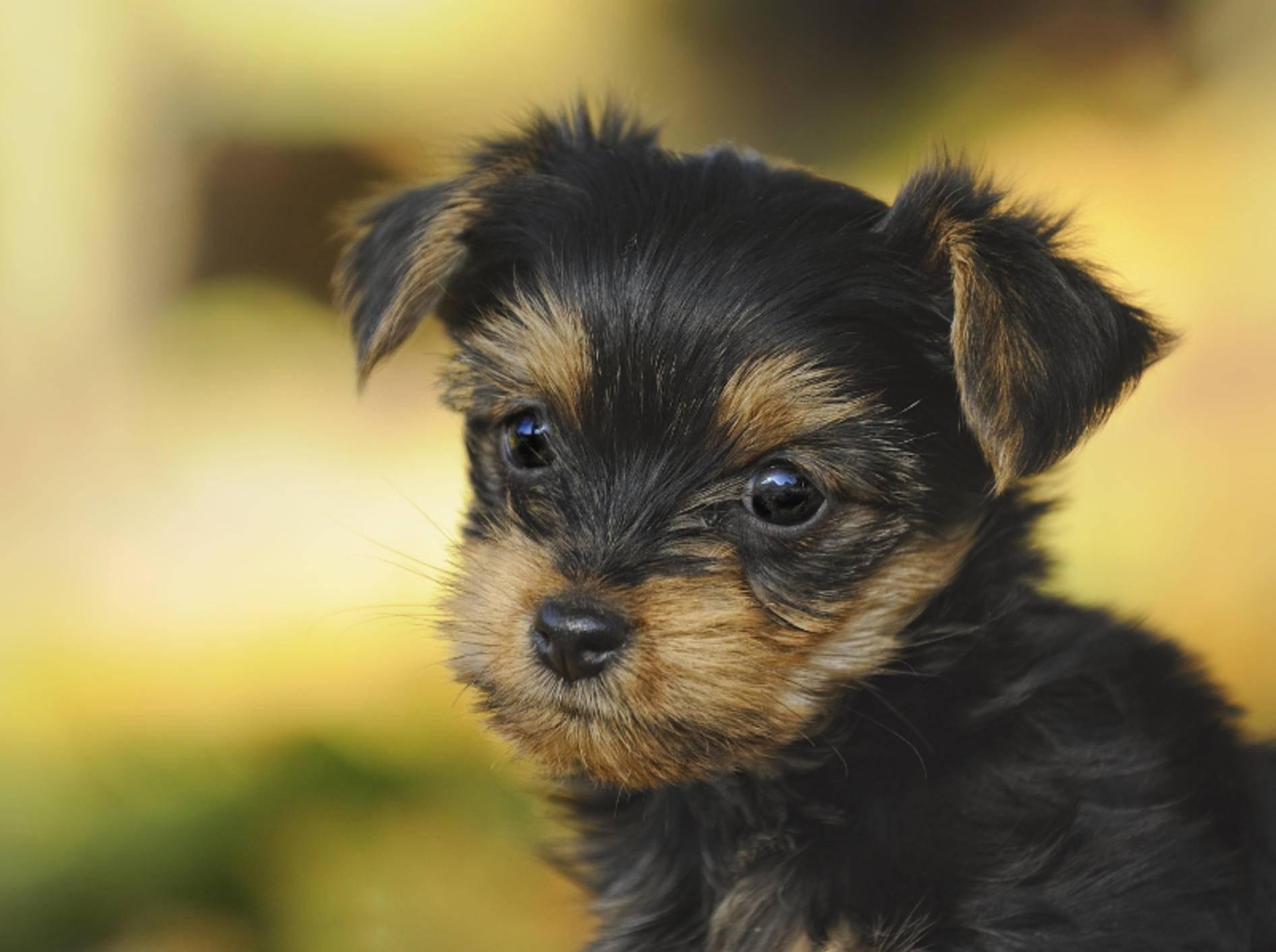 Mit seinem niedlichen Gesicht erwärmt dieser Yorkshire Terrier jedes Herz – Bild: Shutterstock / AnetaPics