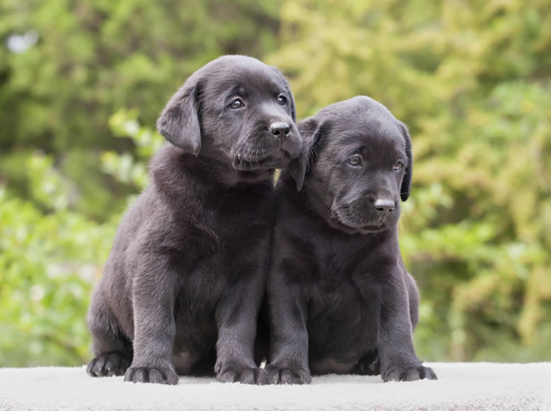 Auch diese süßen Labrador-Welpen brauchen Hundeerziehung – Bild: Shutterstock / Reddogs