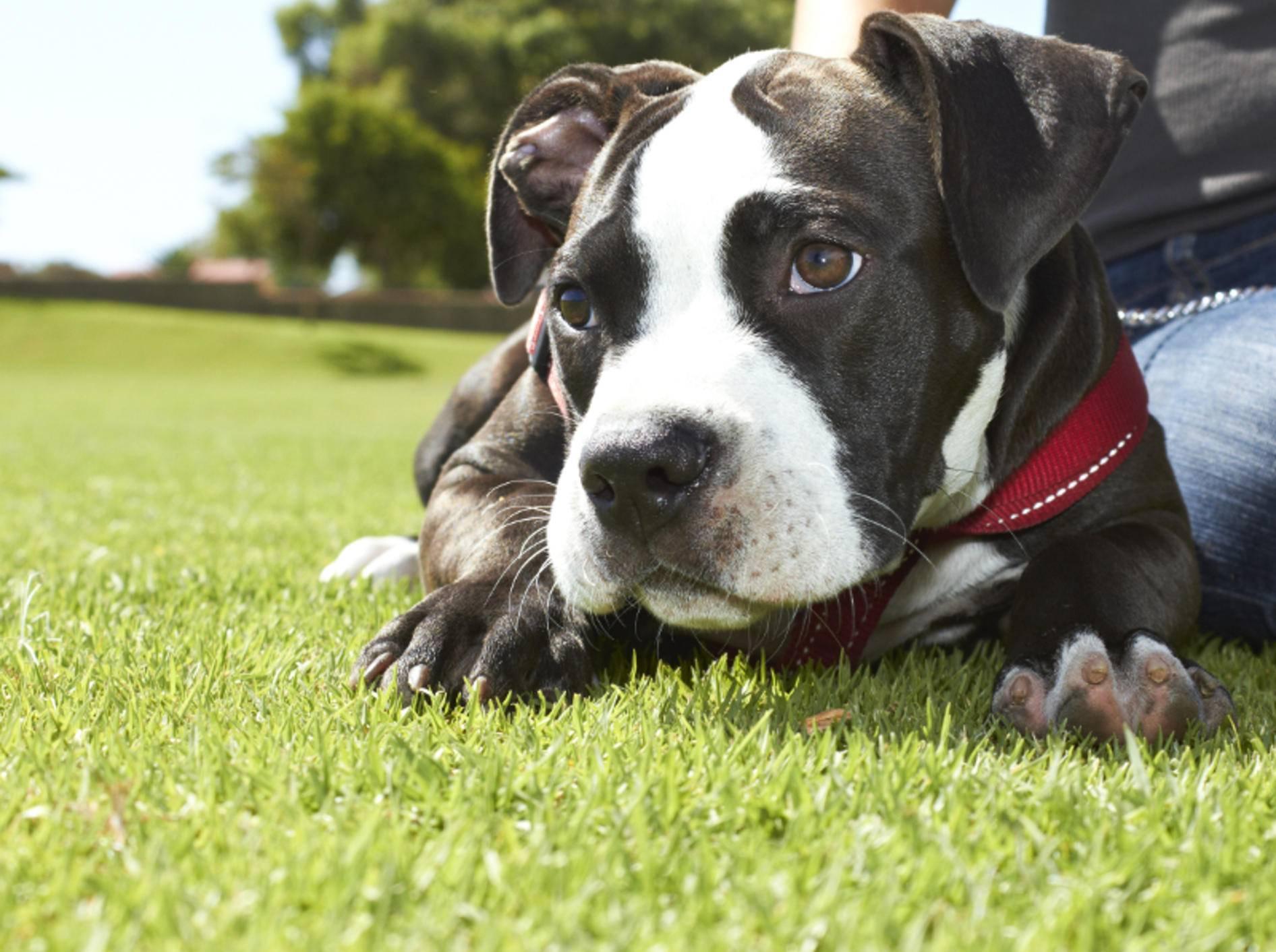 Den Pitbull gibt es in verschiedenen Farben – Bild: Shutterstock / dogboxstudio