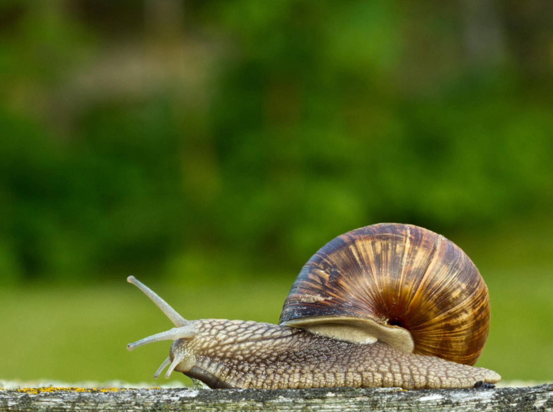 Schnecken gehören zu den Weichtieren – Bild: Shutterstock / Peter Krejzl