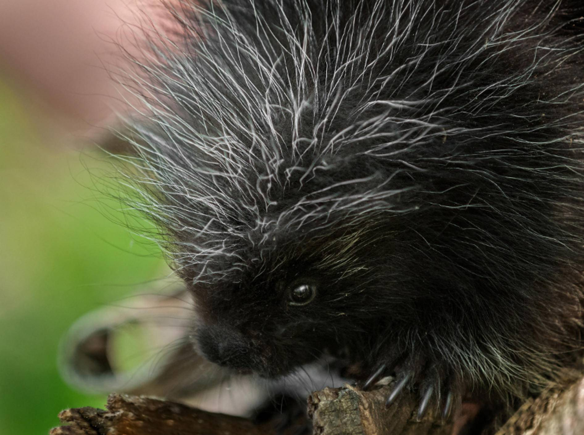 """""""Hallöchen, ich bin ein Stachelschwein! Über mich gibt es vieles zu erfahren!"""" – Bild: Shutterstock / Geoffrey Kuchera"""