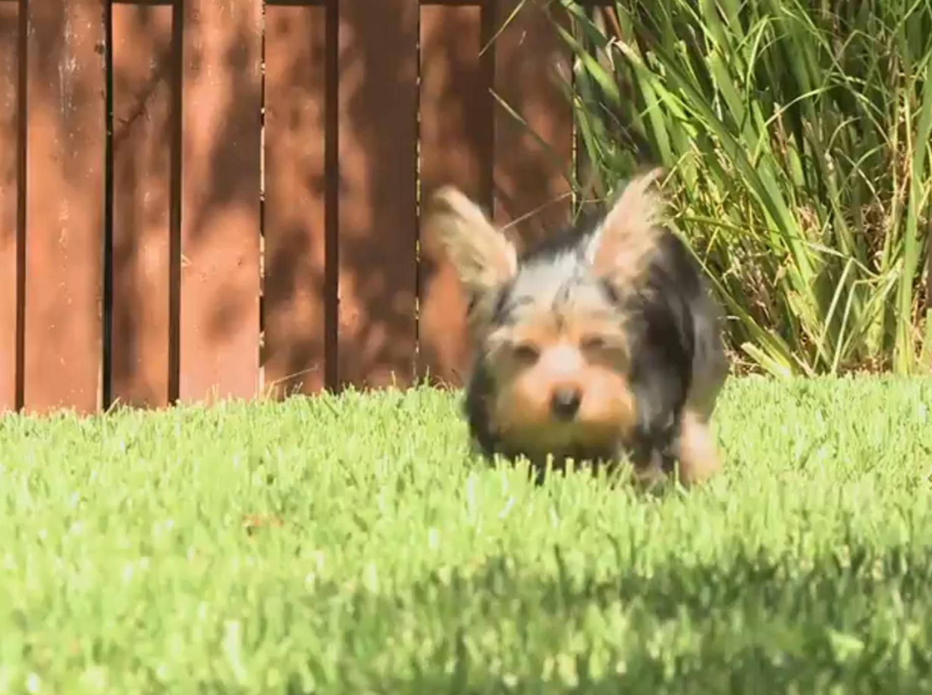 """Yorkshire Terrier-Welpen: """"Wir sind so flink!"""" – Bild: YouTube / The Pet Collective"""