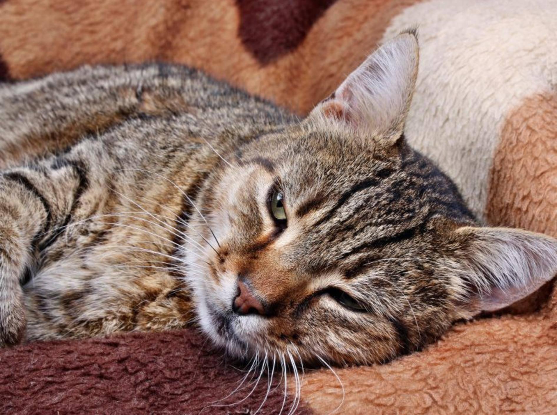 Demenz bei Katzen: Nach dem Aufwachen sind die Symptome oft deutlicher sichtbar – Bild: Shutterstock / Adam J