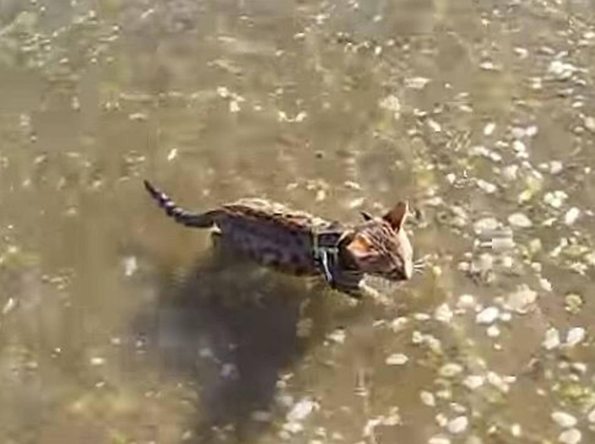 Schwimmstunde mit einer Bengal-Katze – Bild: Youtube / Michelle Holmes