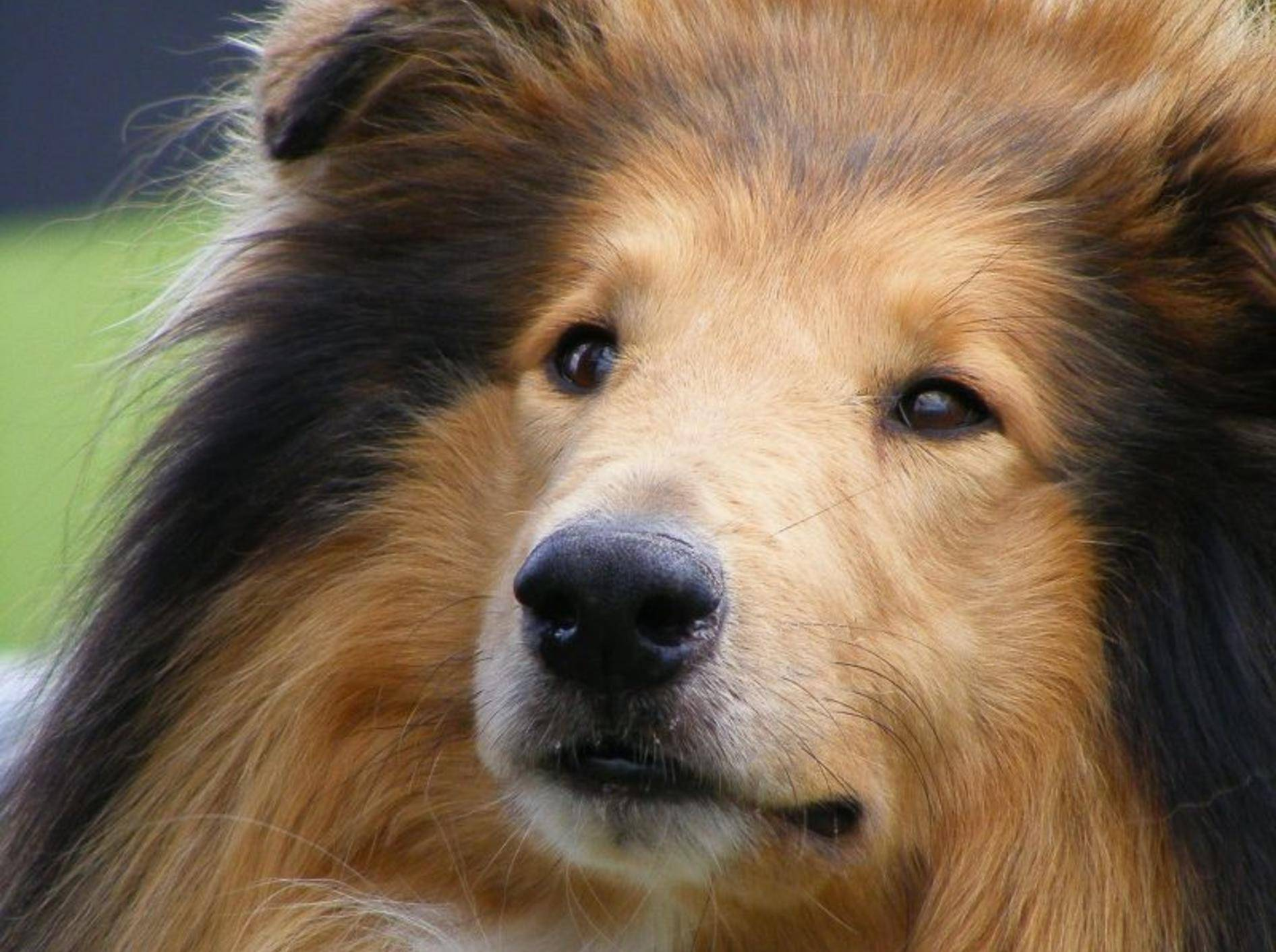 Der Collie: Ein munterer und freundlicher Hund – Bild: Shutterstock / Anastasija Popova