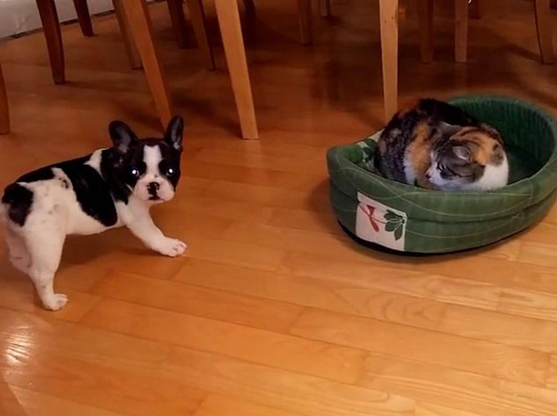 """Französische Bulldogge: """"Hey, ich will mein Bett zurück!"""" –Bild: Youtube / Rumble Viral"""