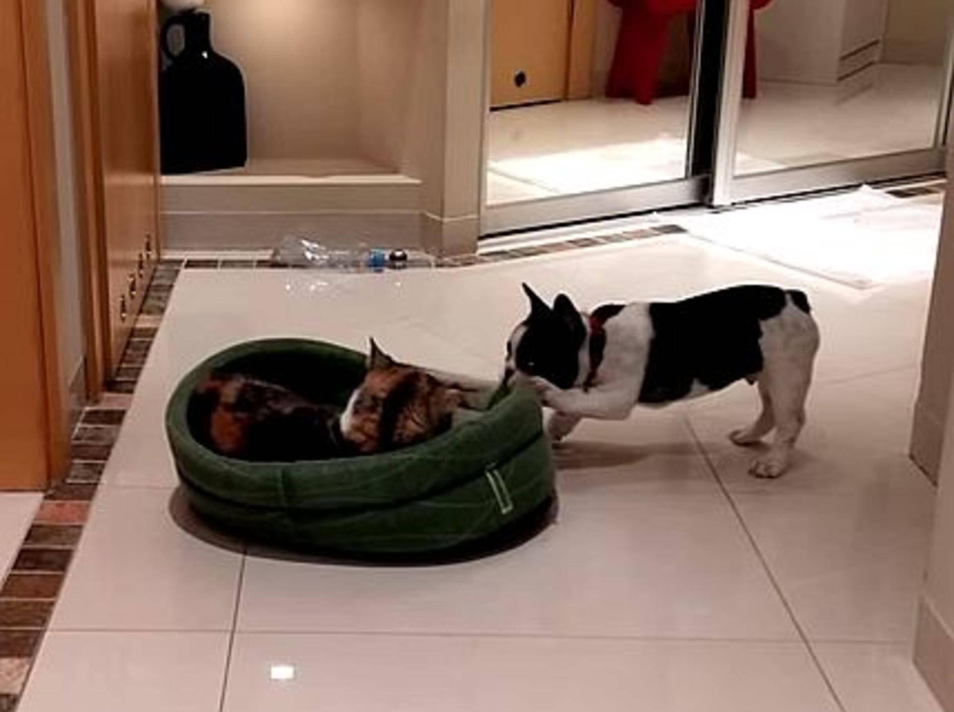 Französische Bulldogge erobert Bett zurück – Bild: Youtube / Pixel