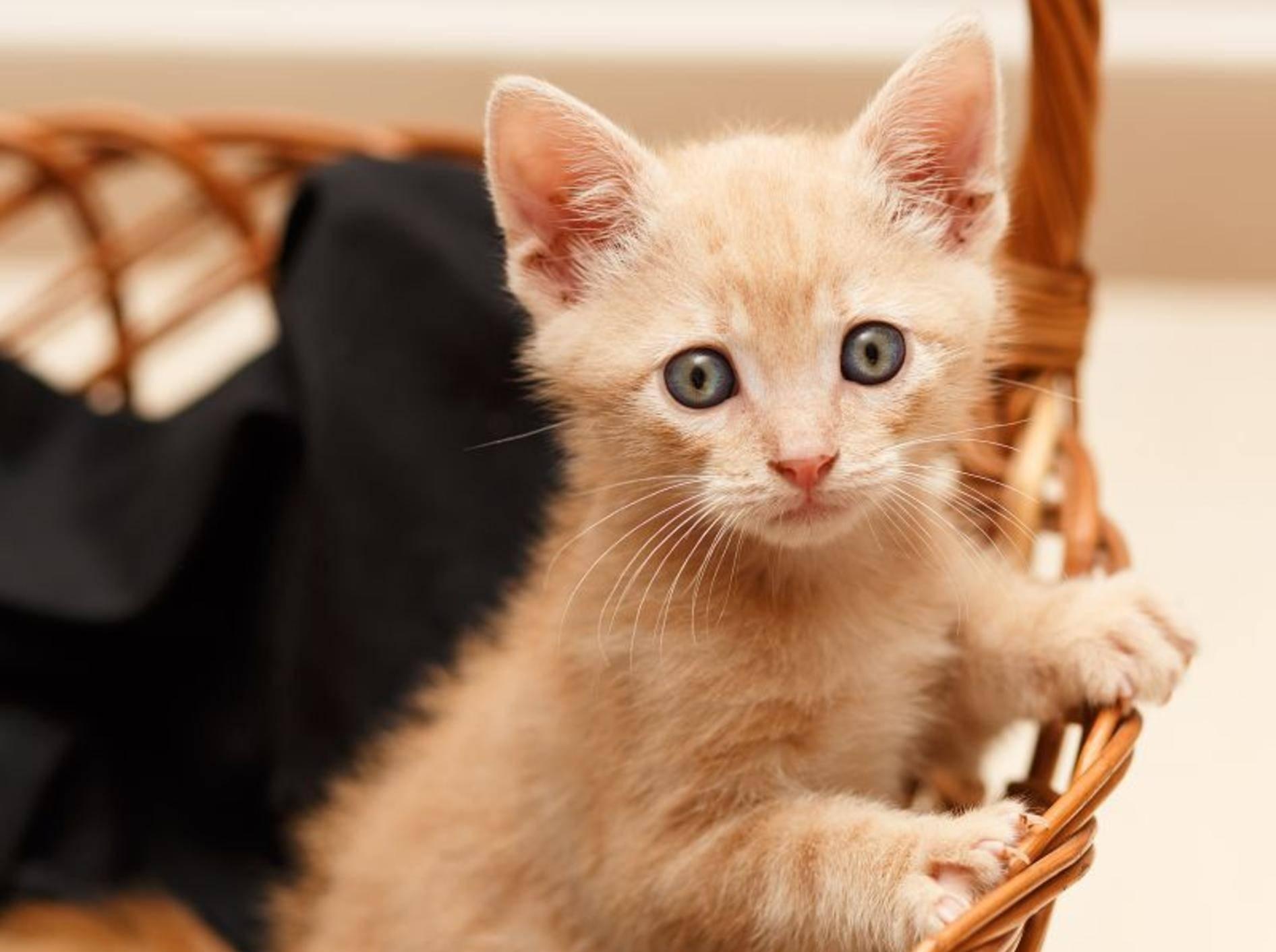 Dieser kleine Kater braucht noch ein wenig, bis er ausgewachsen ist – Bild: Shutterstock / andreaciox