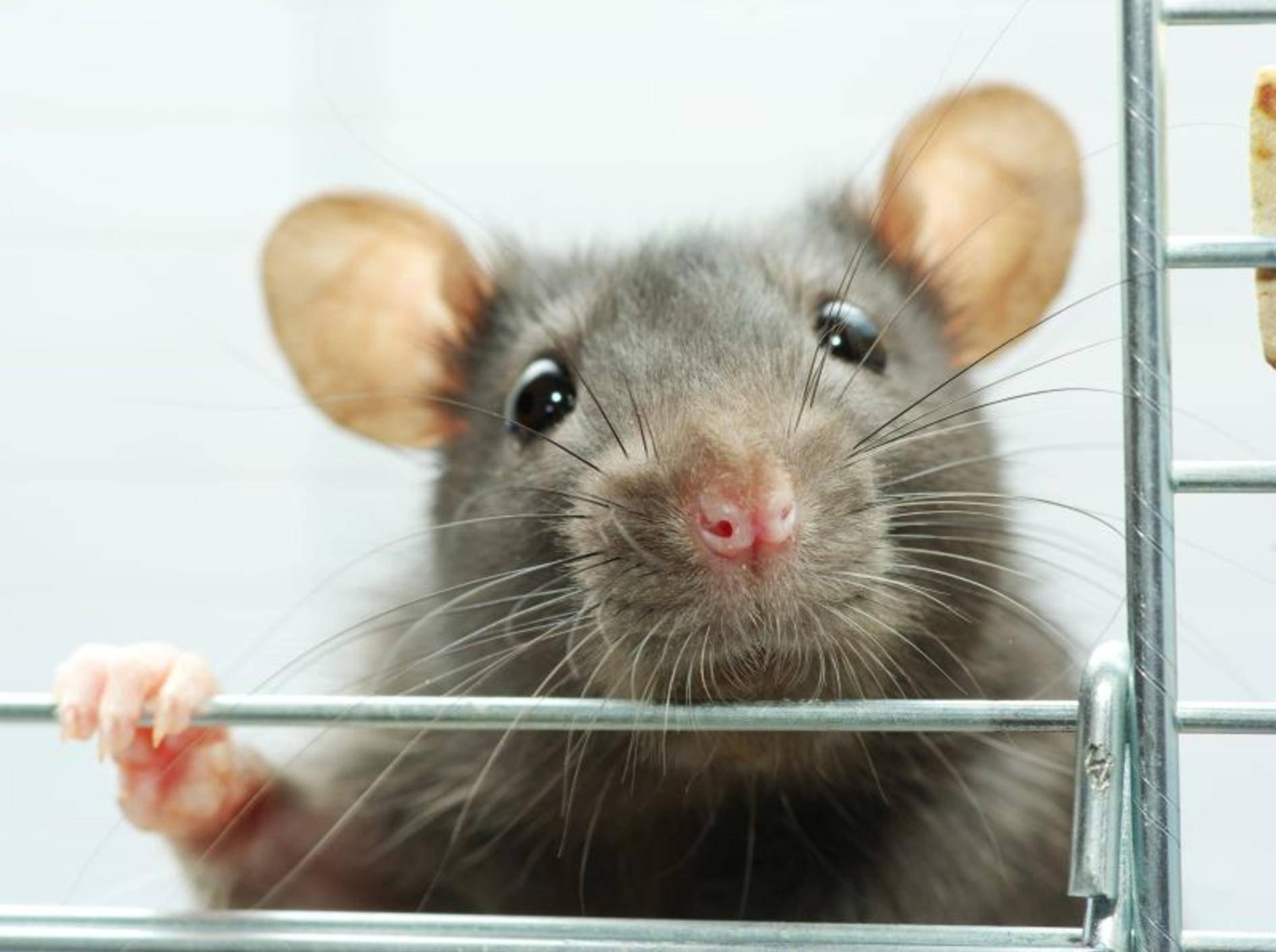 Na, wer schaut denn da so frech aus der Wäsche? Eine süße Farbratte – Bild: Shutterstock / Pakhnyushchy