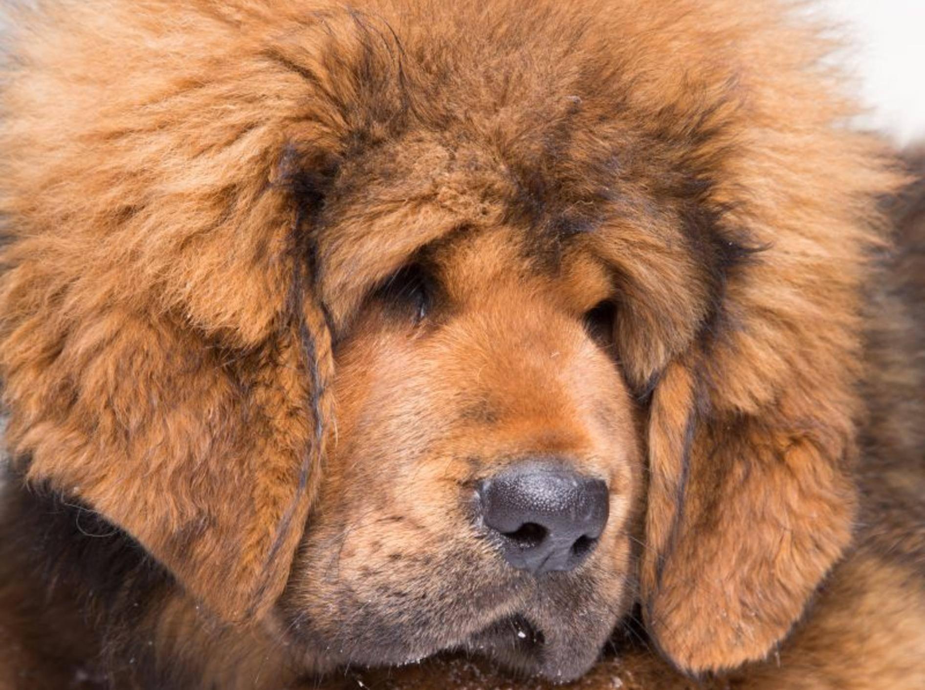 Die Tibetdogge: Ein großer, kräftiger Hund mit dichtem, wolligen Fell – Bild: Shutterstock / Irina oxilixo Danilova