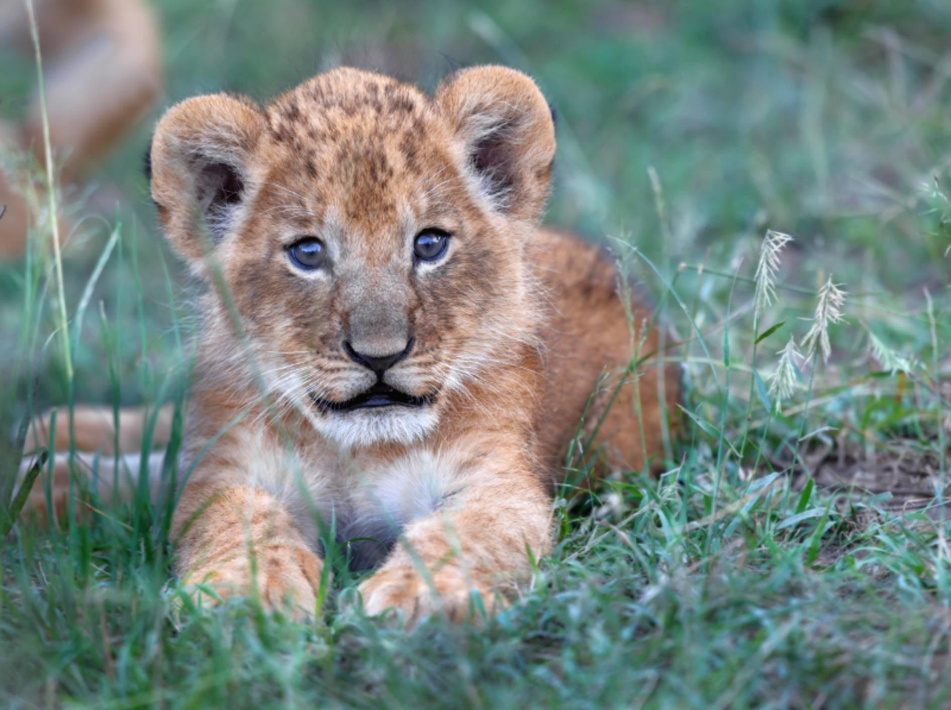 """""""Hallöchen, ich bin ein Löwenbaby! Sehe ich nicht süß aus?"""" – Bild: Shutterstock / Maggy Meyer"""