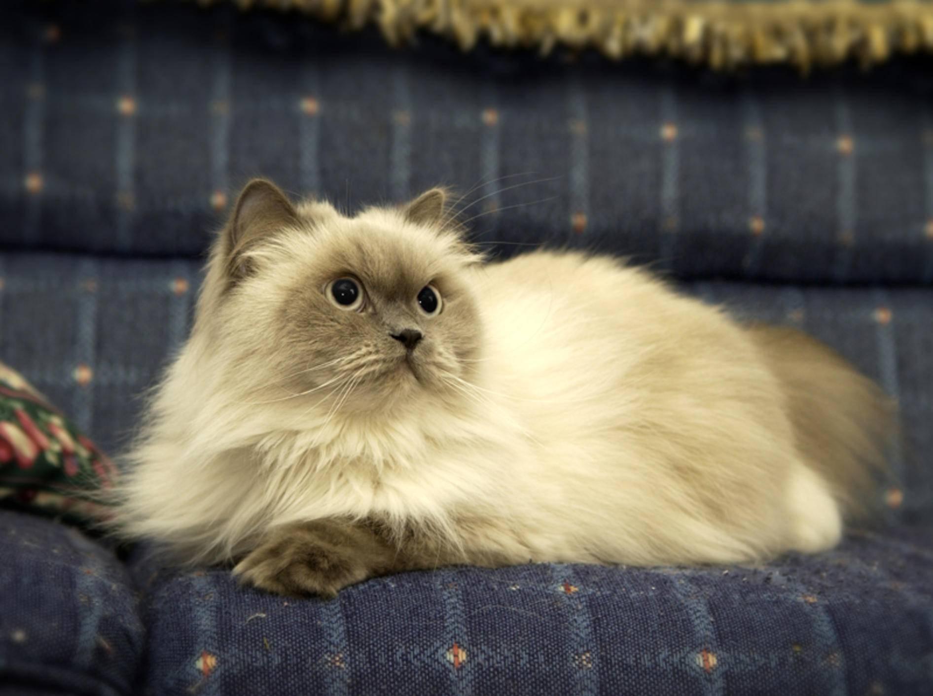 Perser gehören zu den gemütlichen Katzenrassen– Bild: Shutterstock / GWImages