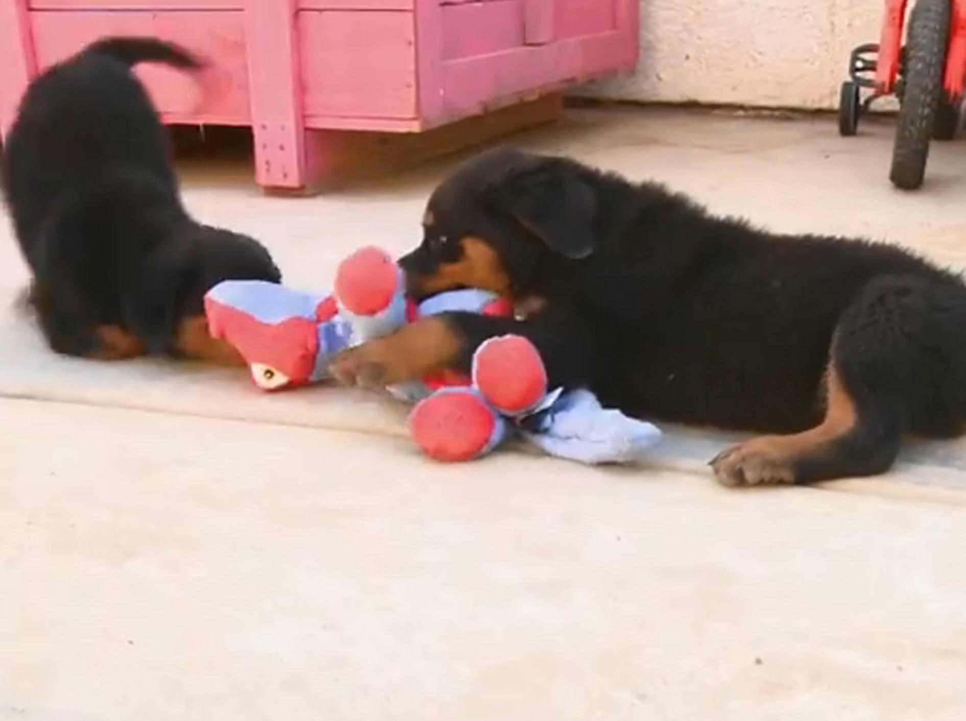 Rottweiler-Welpen: Der Kampf mit dem Drachen – Bild: YouTube / The Pet Collective