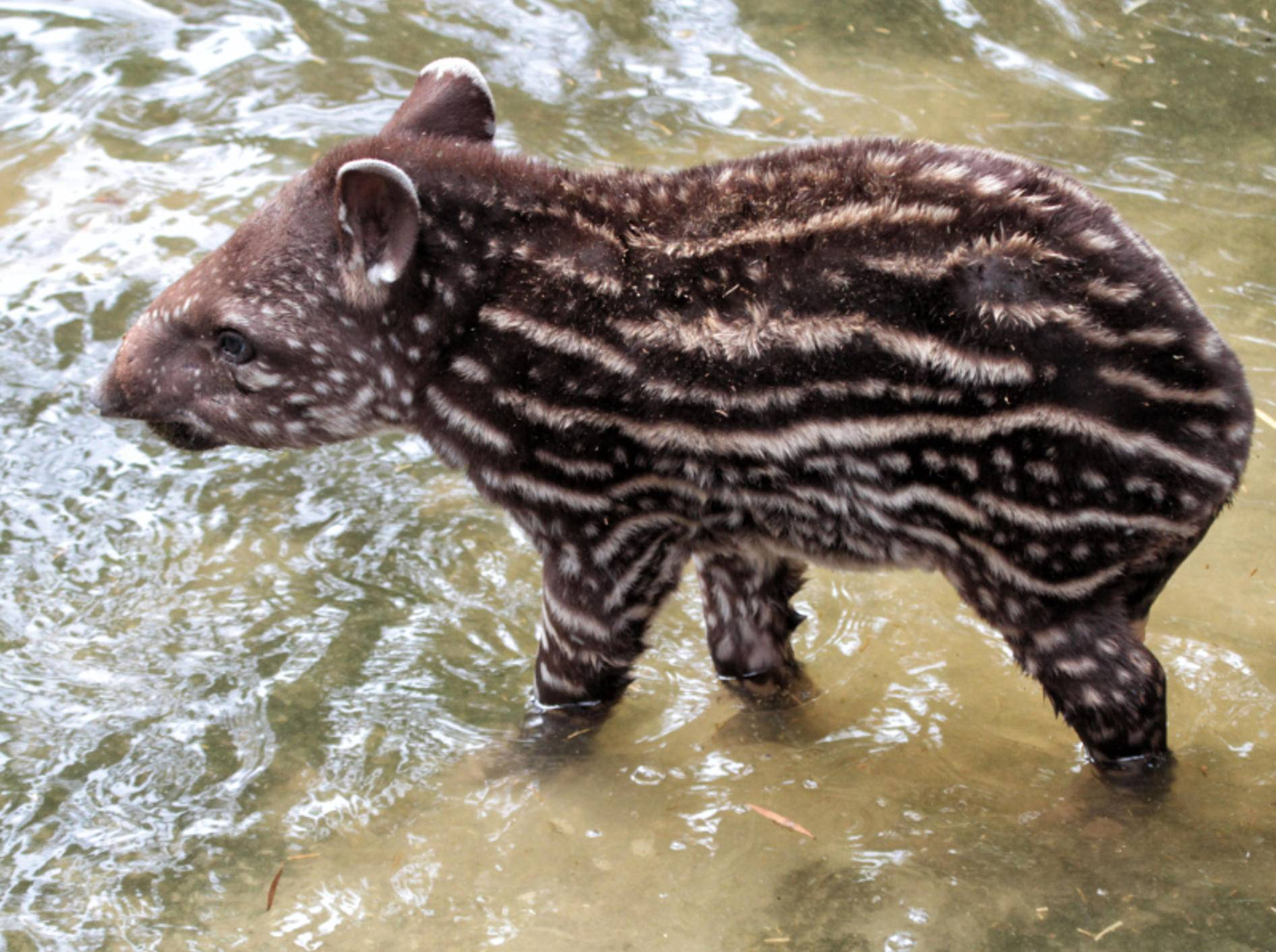 """""""Ich bin ein junger Tapir und über unsere Tierart gibt es soooo viel zu berichten!"""" – Bild: Shutterstock / Yair Leibovich"""