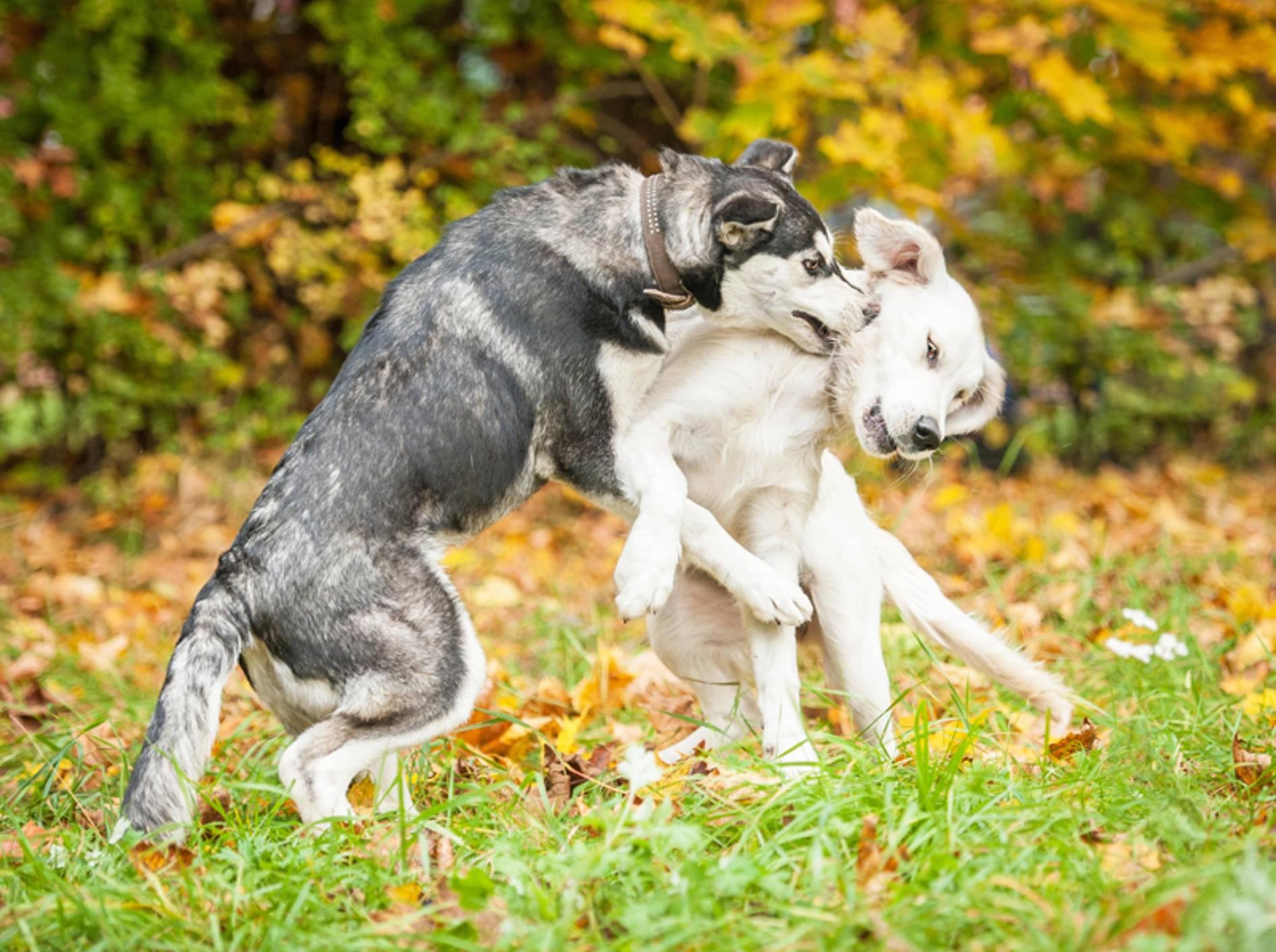 Wenn ein Hund bissig ist, wird aus Spiel schnell Ernst – Bild: Shutterstock / Rita Kochmarjova