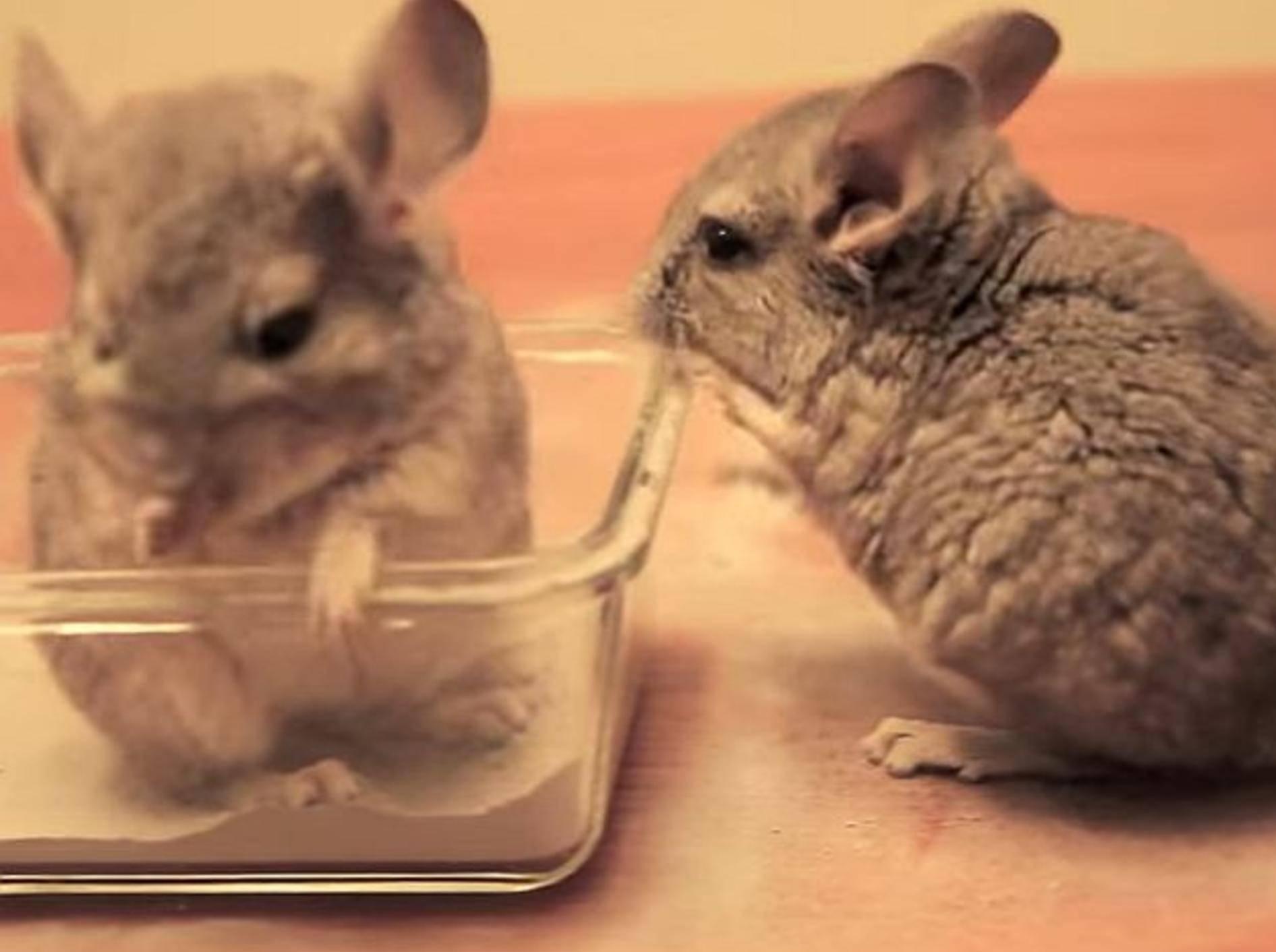 Baby-Chinchillas nehmen erstes Sandbad – Bild: Youtube / ChinTubeHD